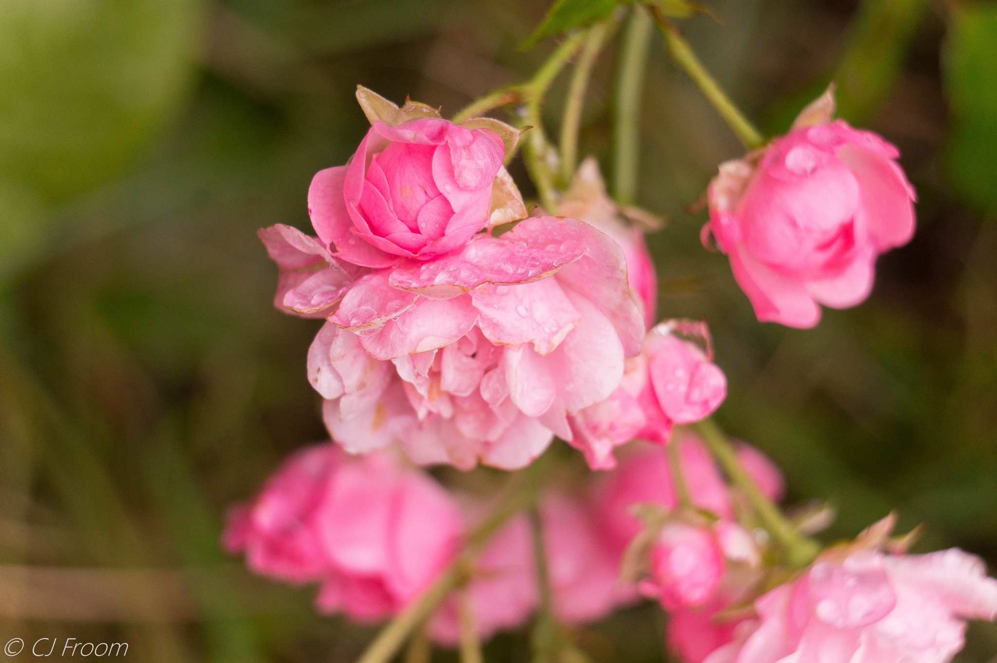 Rain drops on the Roses by Cj Froom