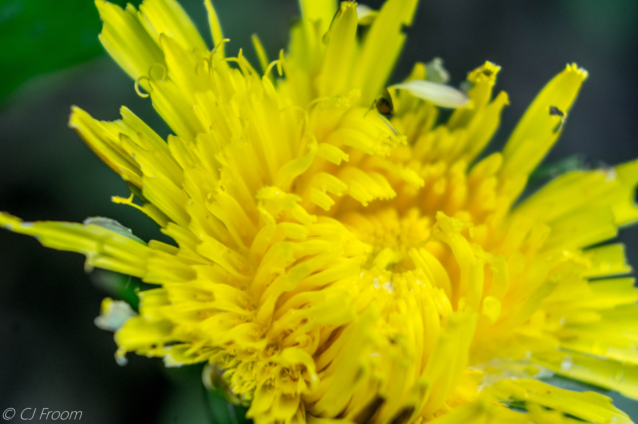 Dandelion by Cj Froom