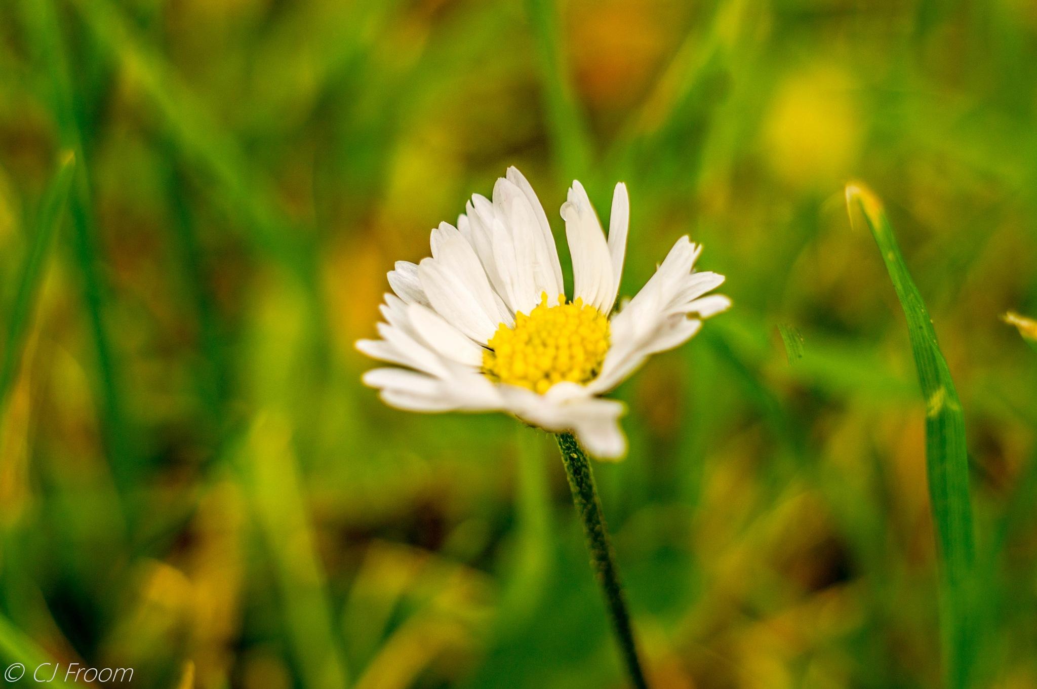 Daisy by Cj Froom