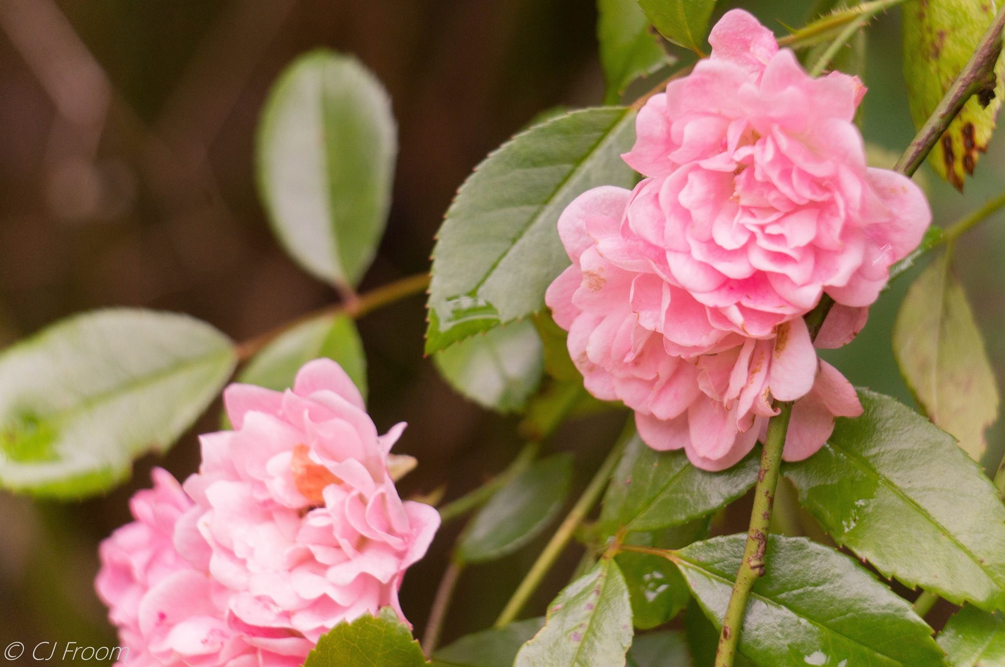 Pink Rose Cluster by Cj Froom