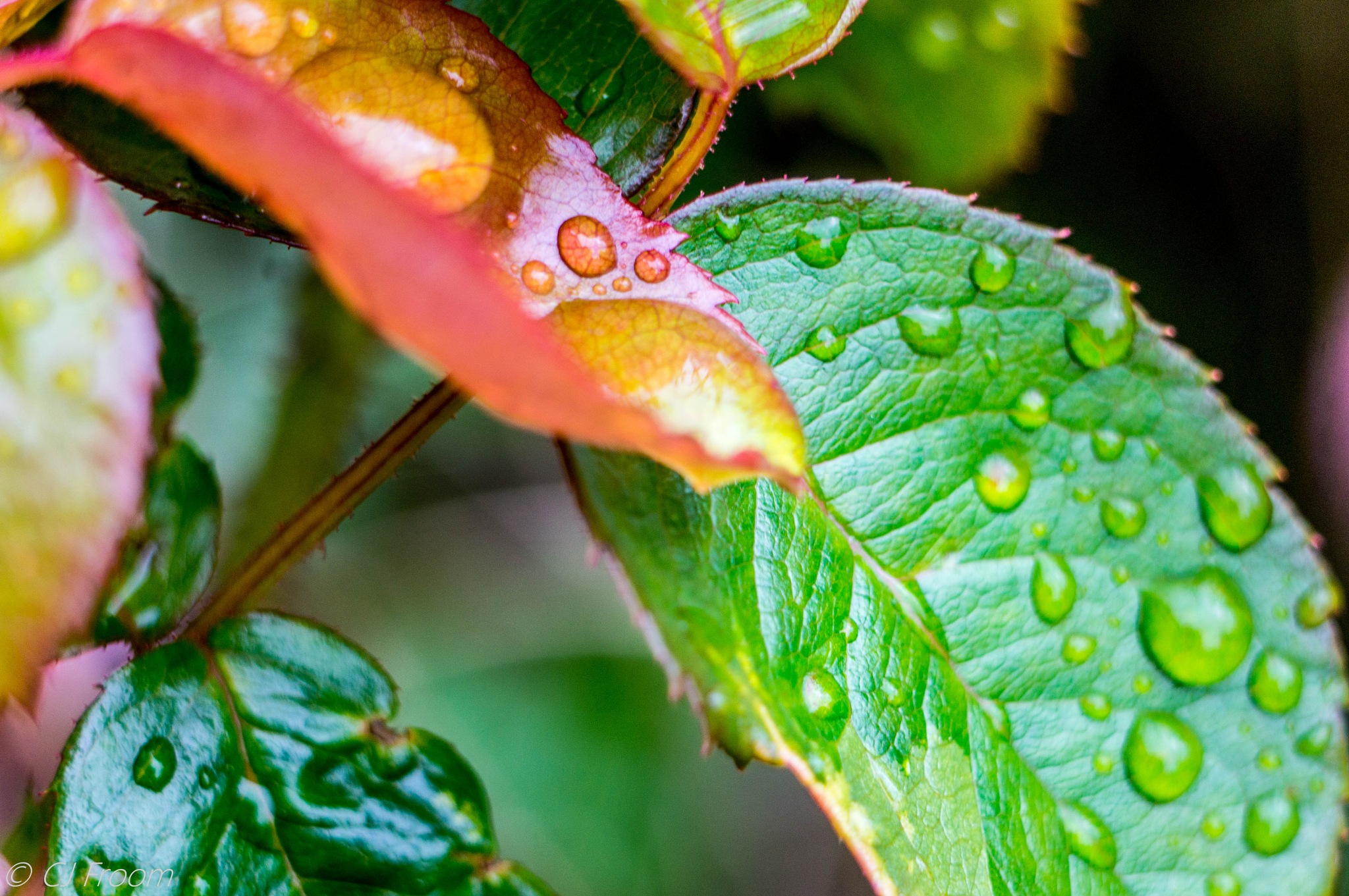 Raindrops on the leaves. by Cj Froom