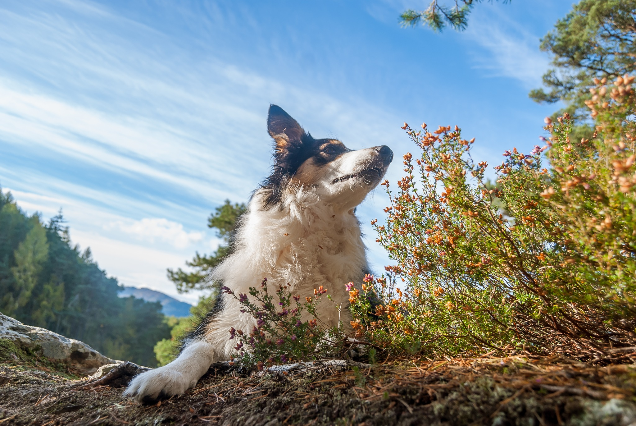 Mia Tri Colour Border Collie  by Johnrutherford84