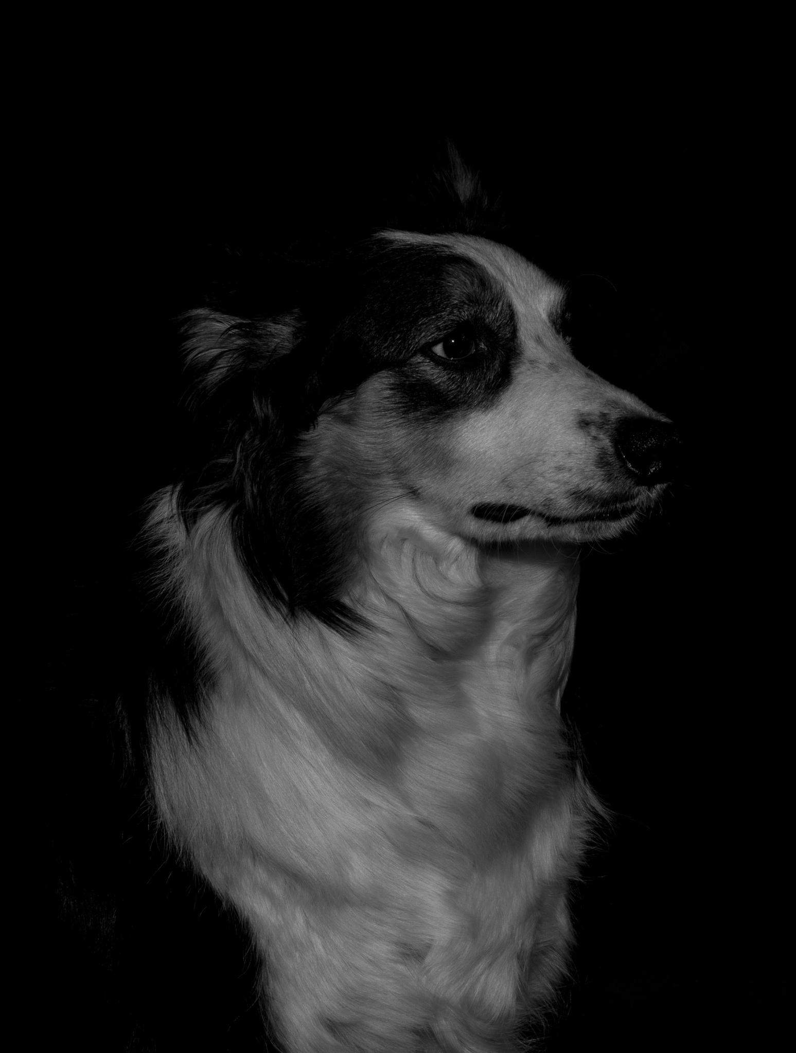 Border Collie by Johnrutherford84