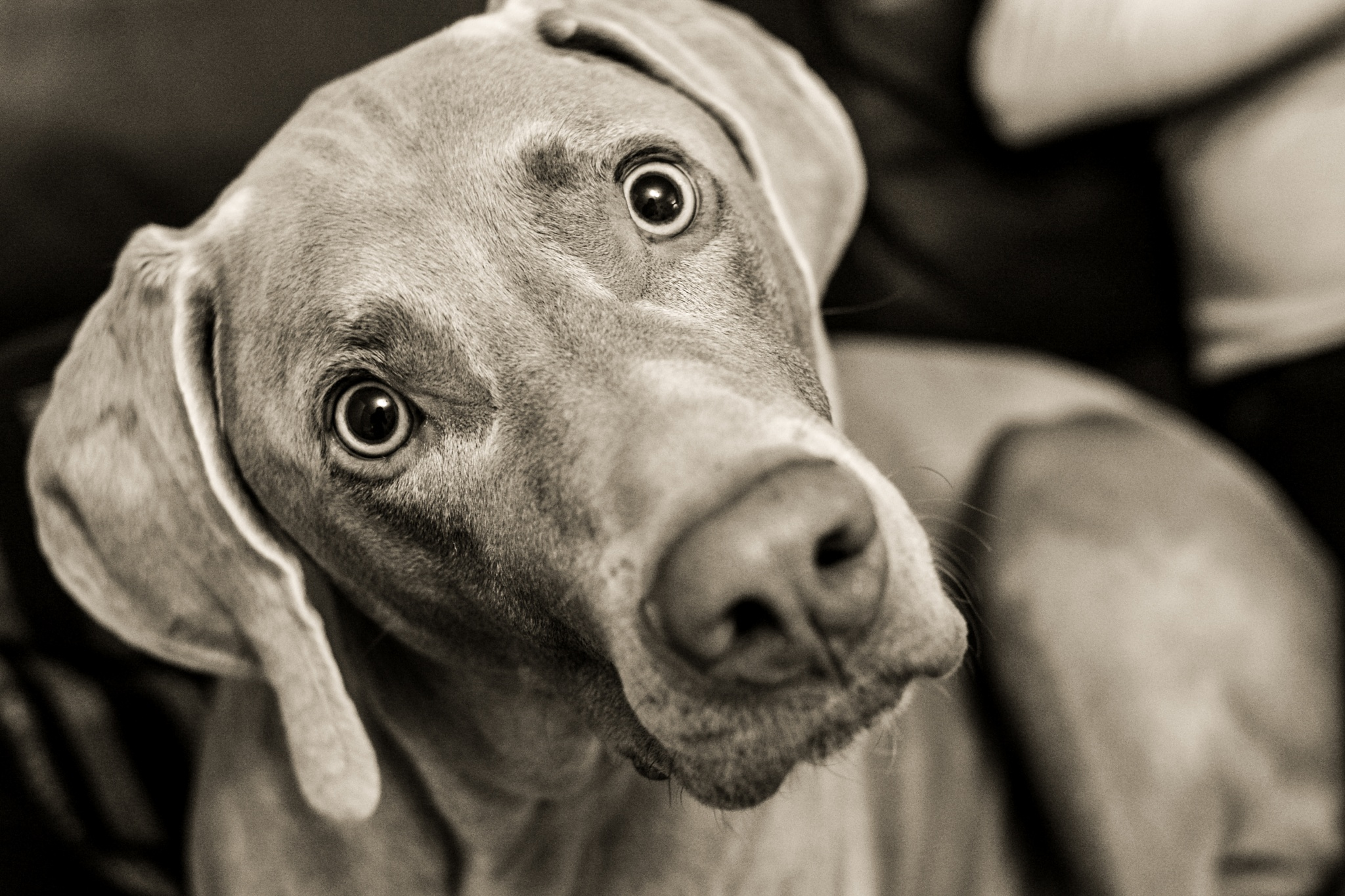 Cooper The Weimaraner by Johnrutherford84
