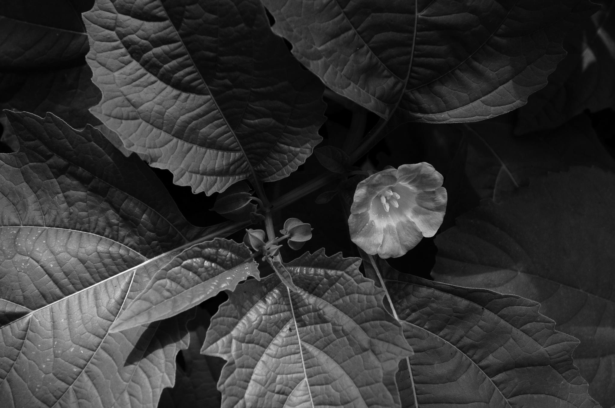 Flor em Preto & Branco by Aurelio Fabian