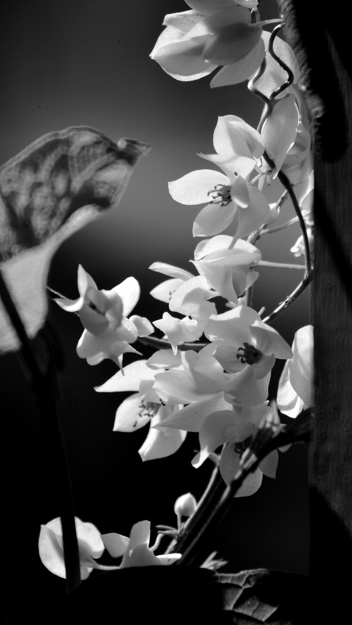 Flores Branca em P&B by Aurelio Fabian