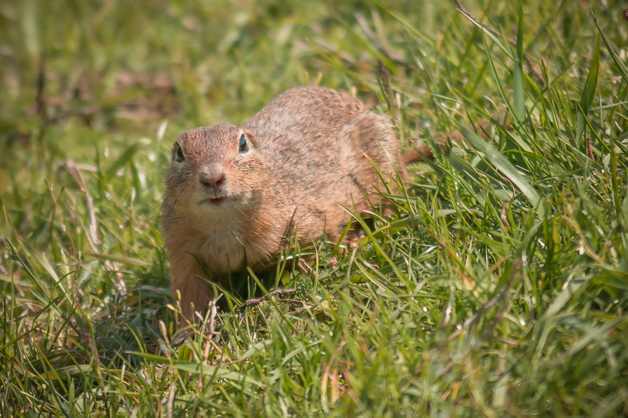 The European ground squirrel by VojcyPhoto