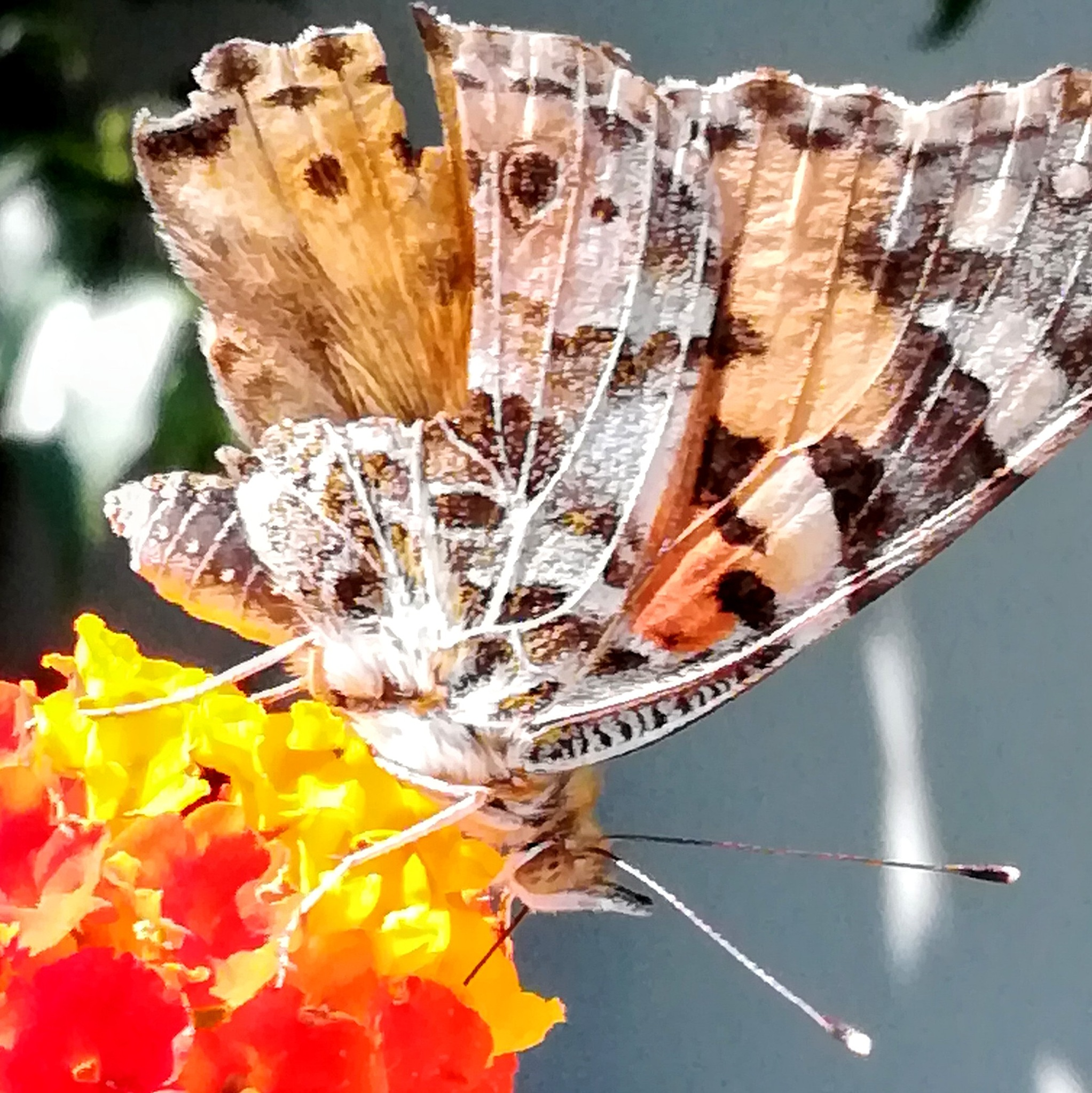 Vanessa#2 on Lantana flower -CC BY 4.0 Gianni Del Bufalo by gianni del bufalo