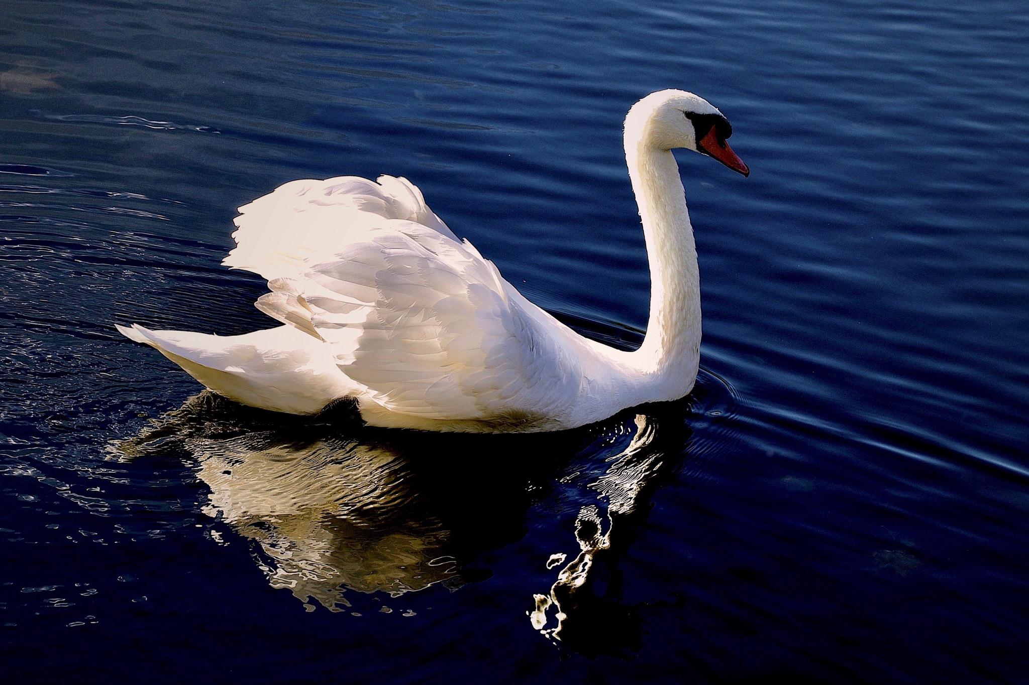 Swan by peterfmmerx
