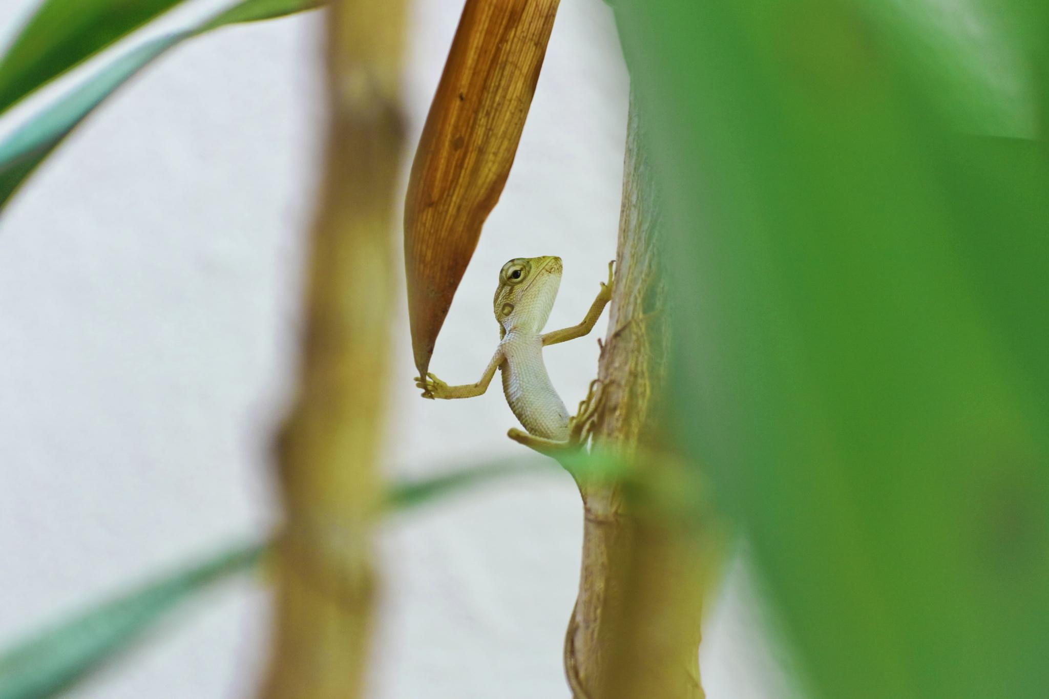 oriental garden lizard by Dineshdk