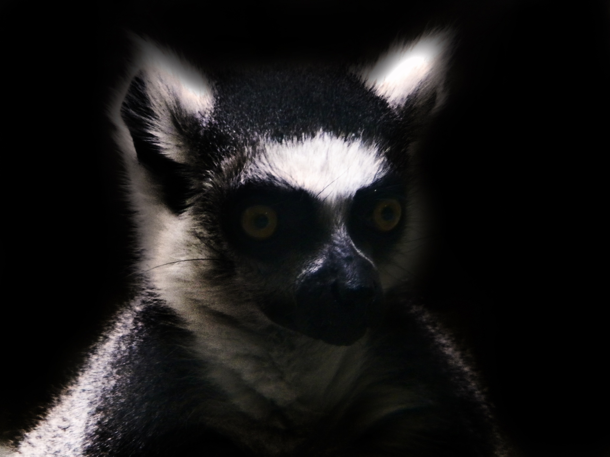 Ring-tailed Lemur In Low Key by Phillip W. Strunk