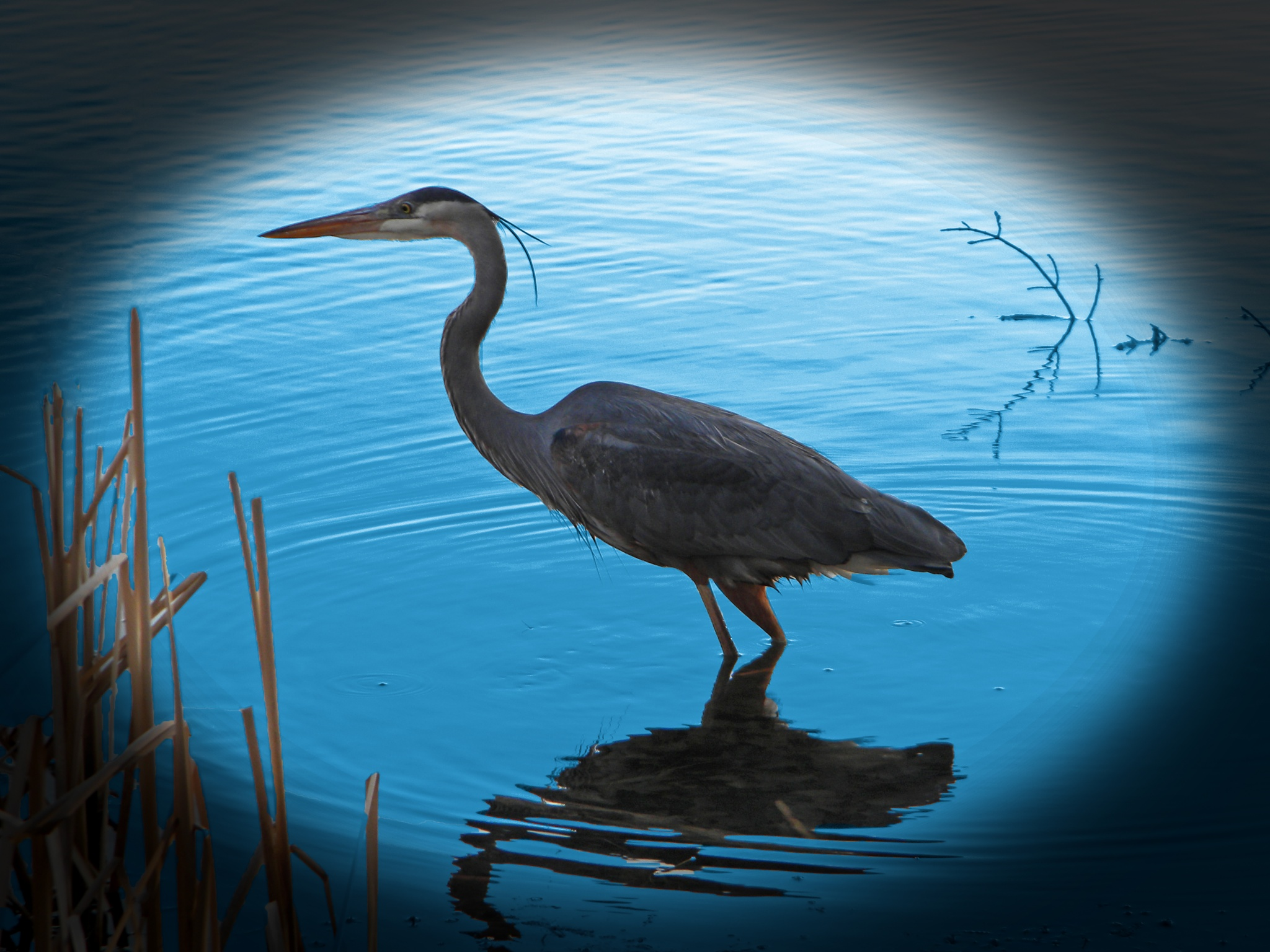 Great Blue Heron by Phillip W. Strunk