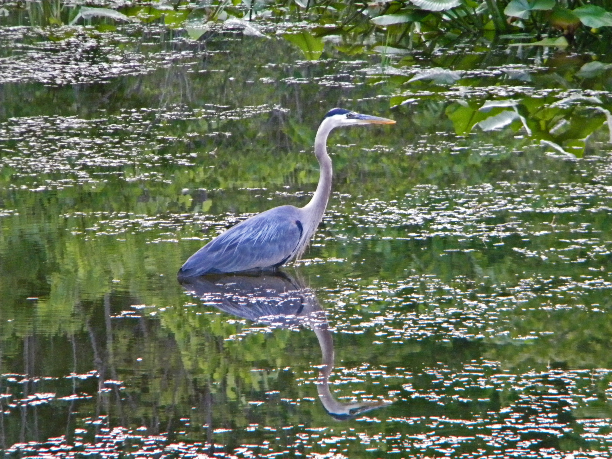 Great Blue Reflection by Phillip W. Strunk