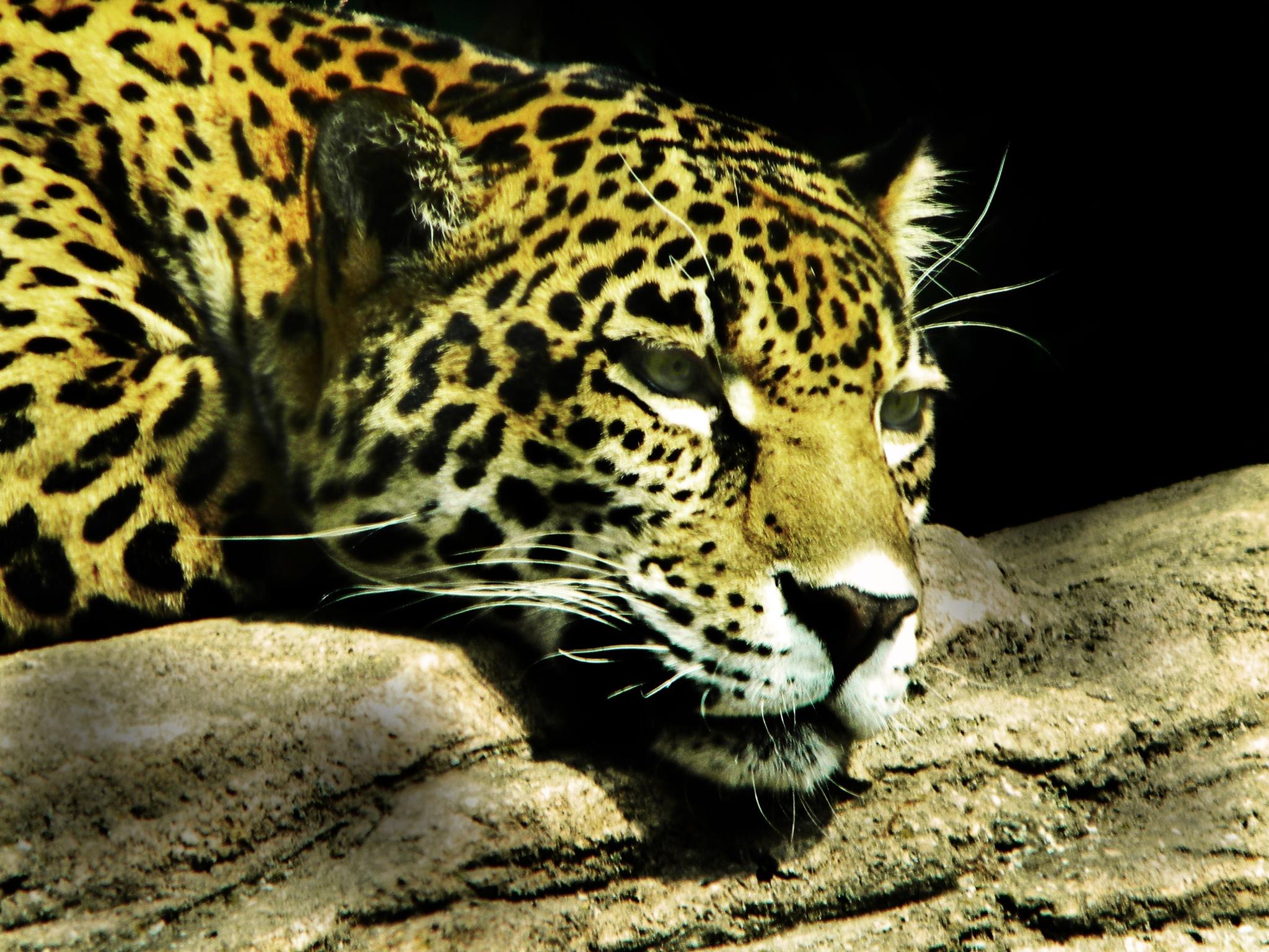 Jaguar In Low Key by Phillip W. Strunk