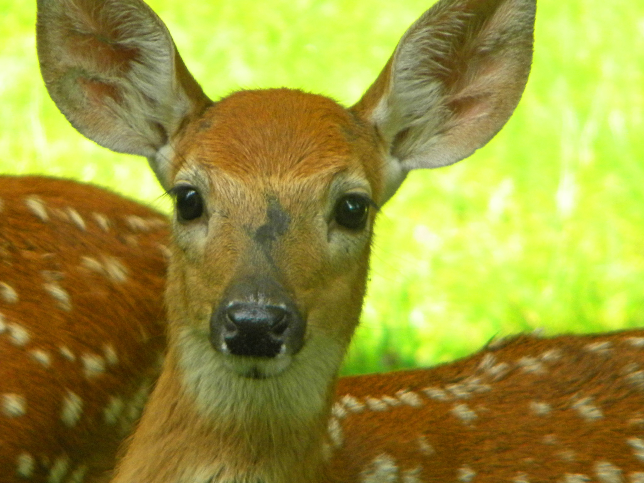 Portrait Of A Fawn by Phillip W. Strunk