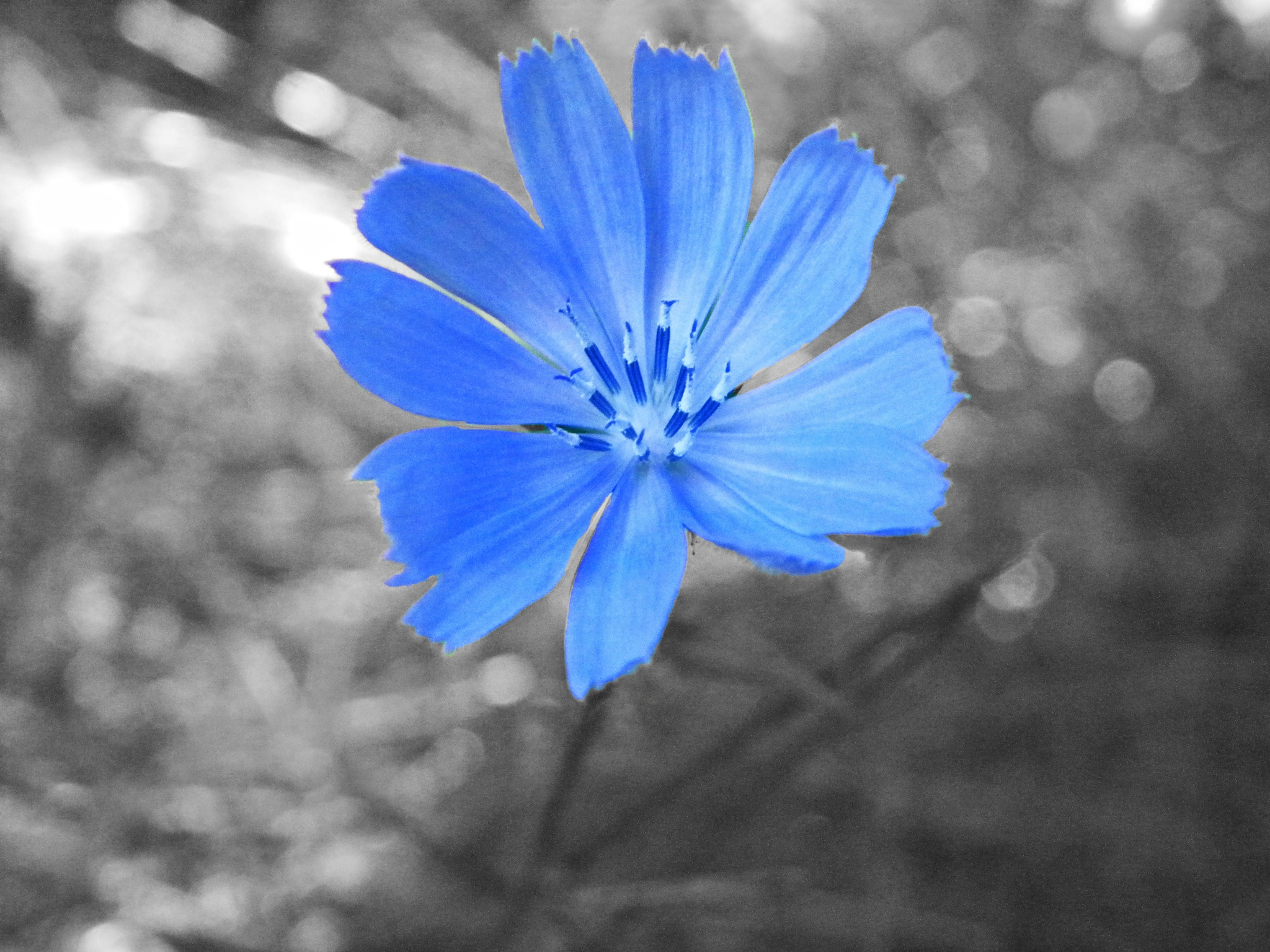 Chicory Stand Out by Phillip W. Strunk