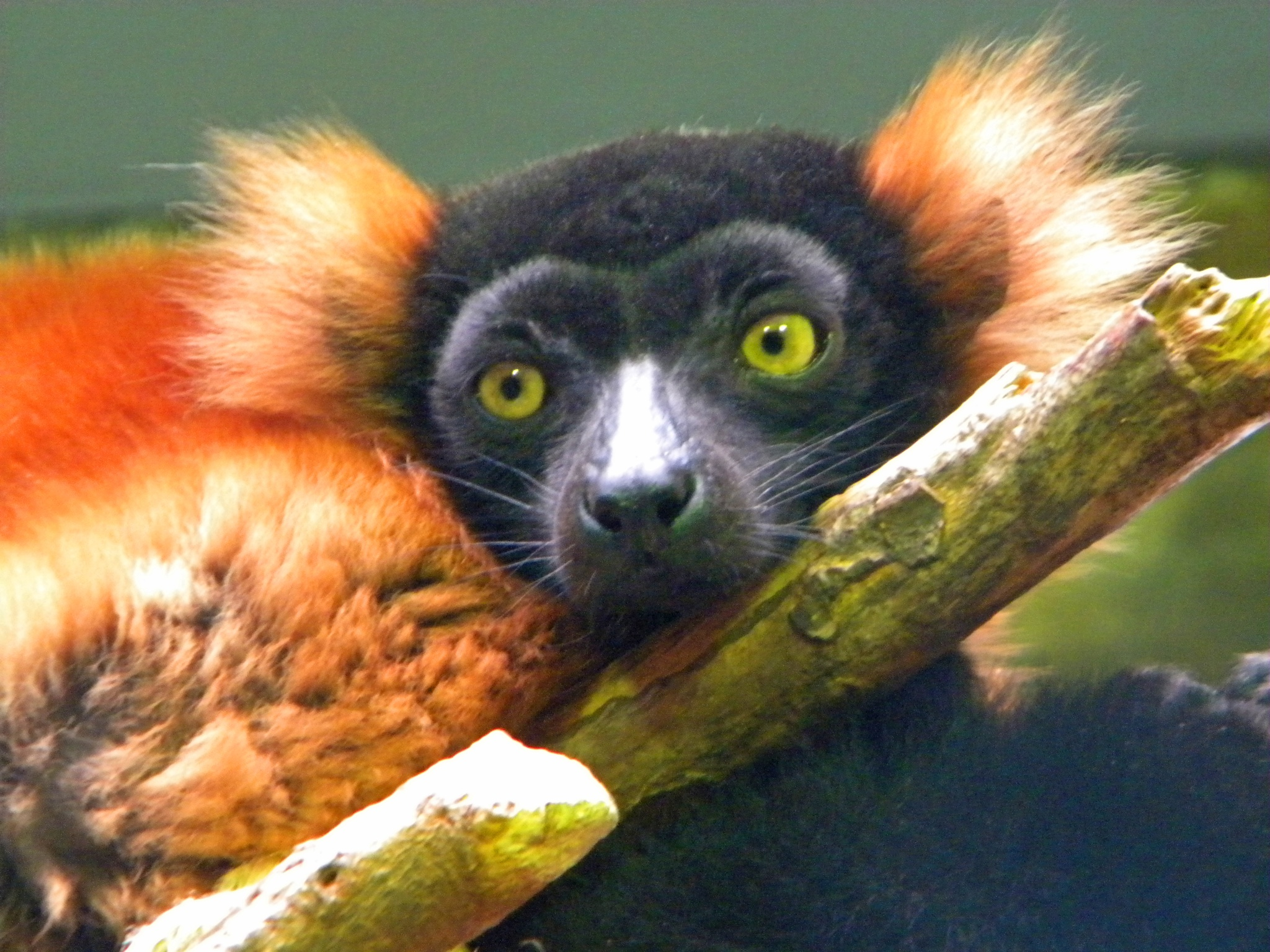 Red-Ruffed Lemur Portrait by Phillip W. Strunk