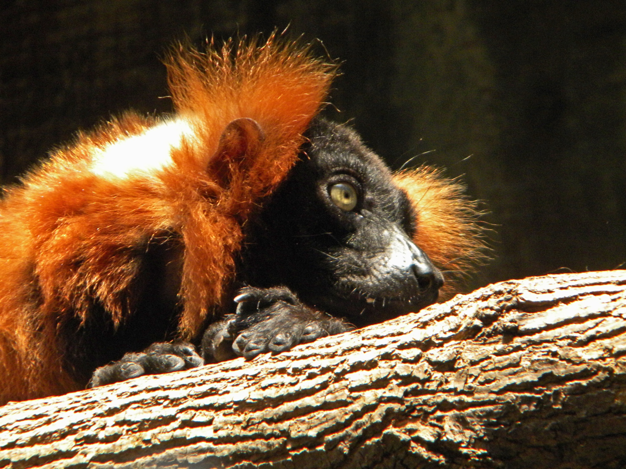Red Ruffed Lemur by Phillip W. Strunk