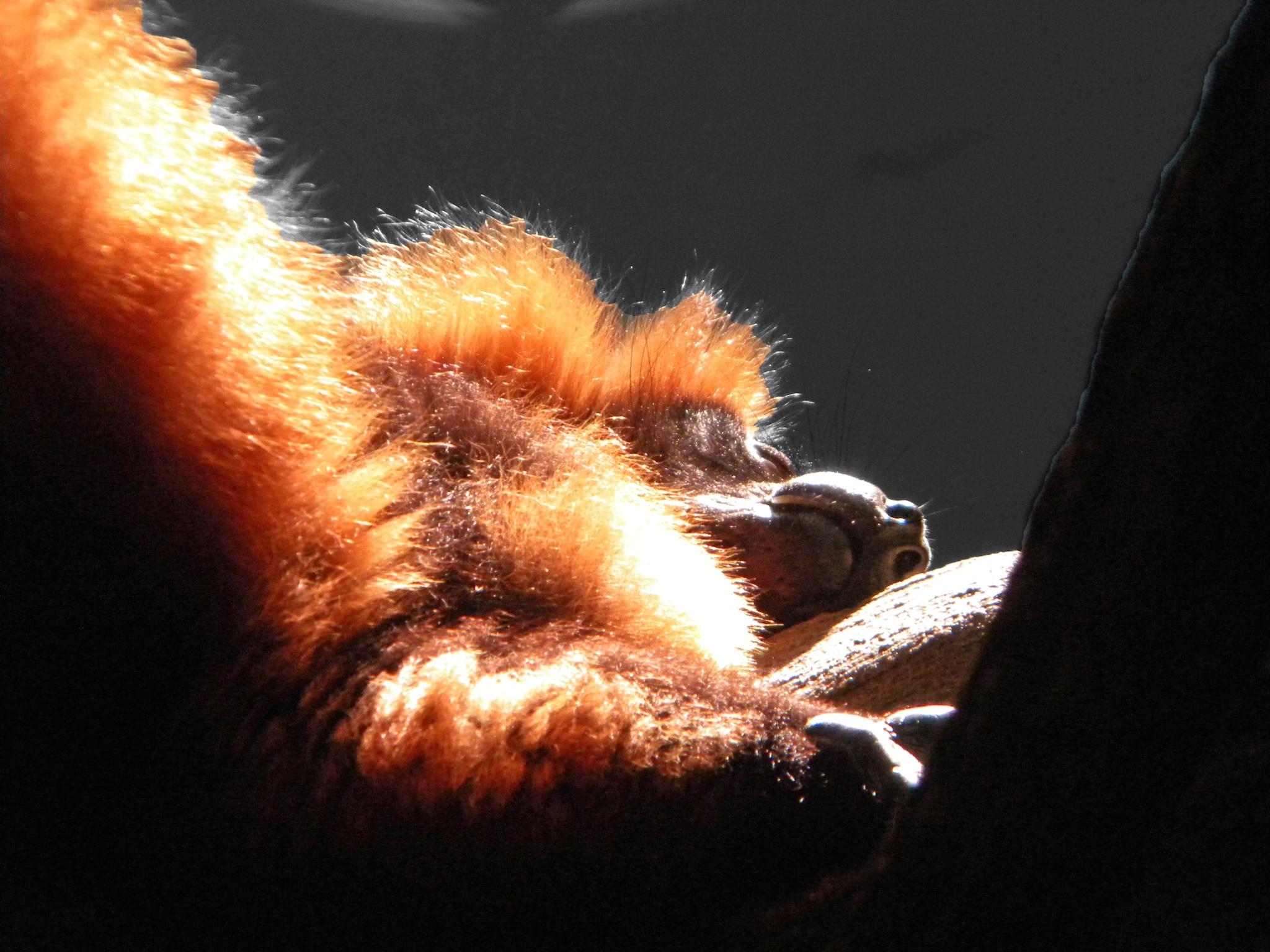 Lemur Nap by Phillip W. Strunk