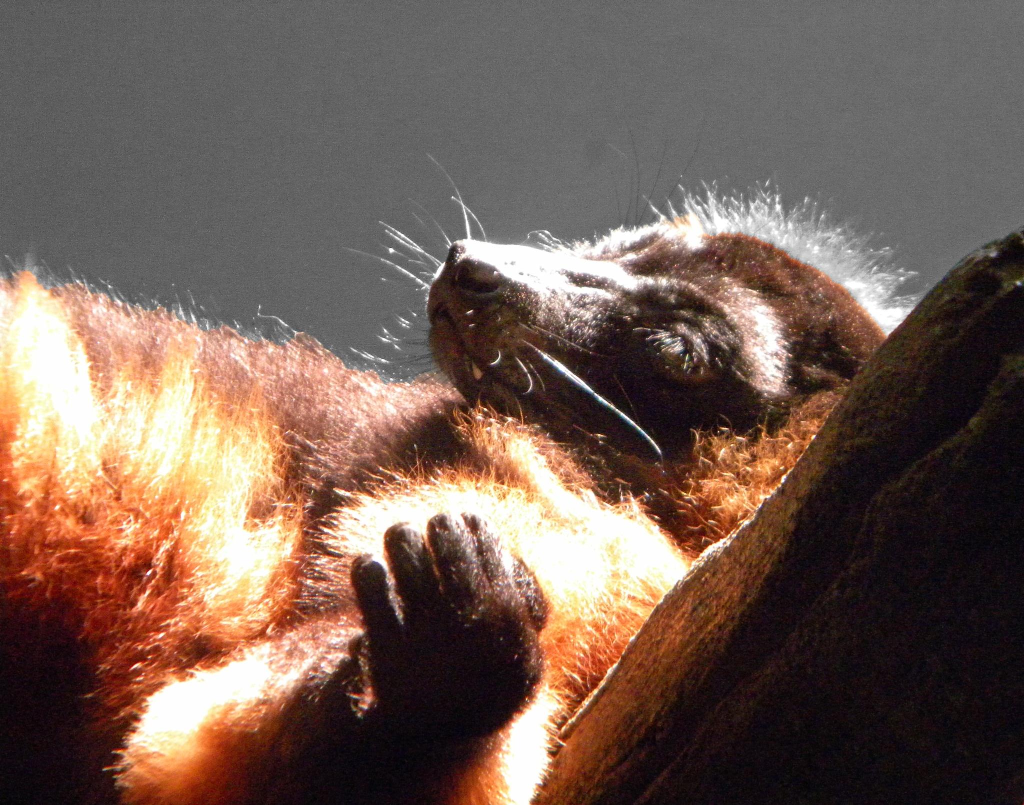 Lemur Lounging by Phillip W. Strunk