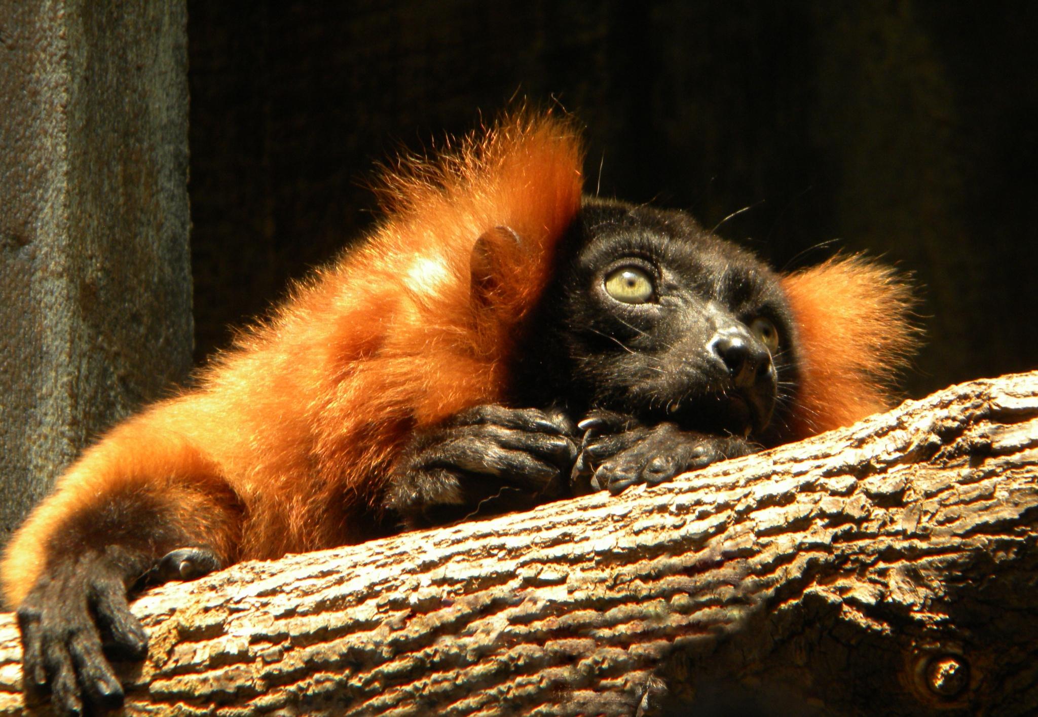 Lemur in Longing by Phillip W. Strunk