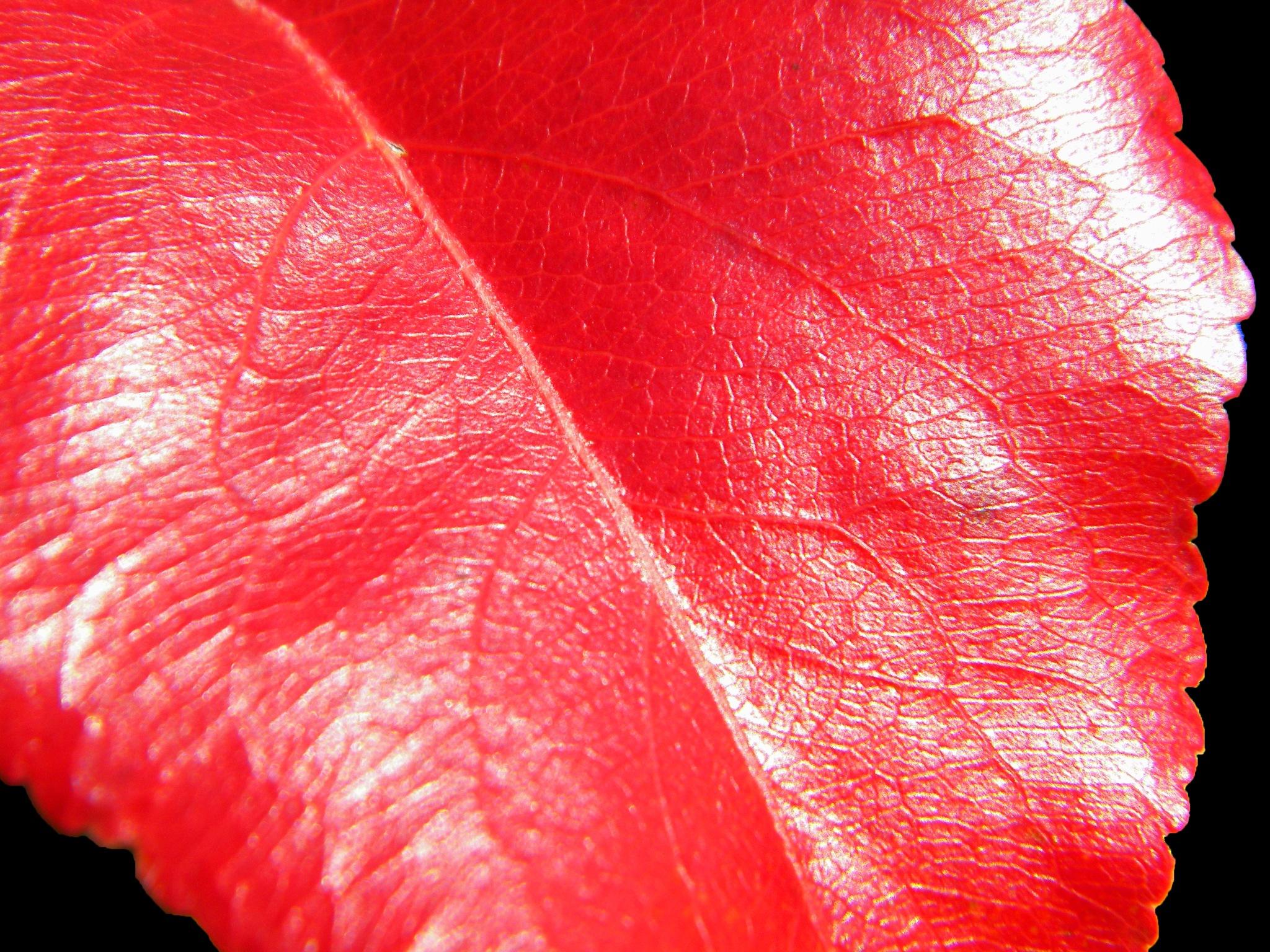 Red Leaf on Black by Phillip W. Strunk