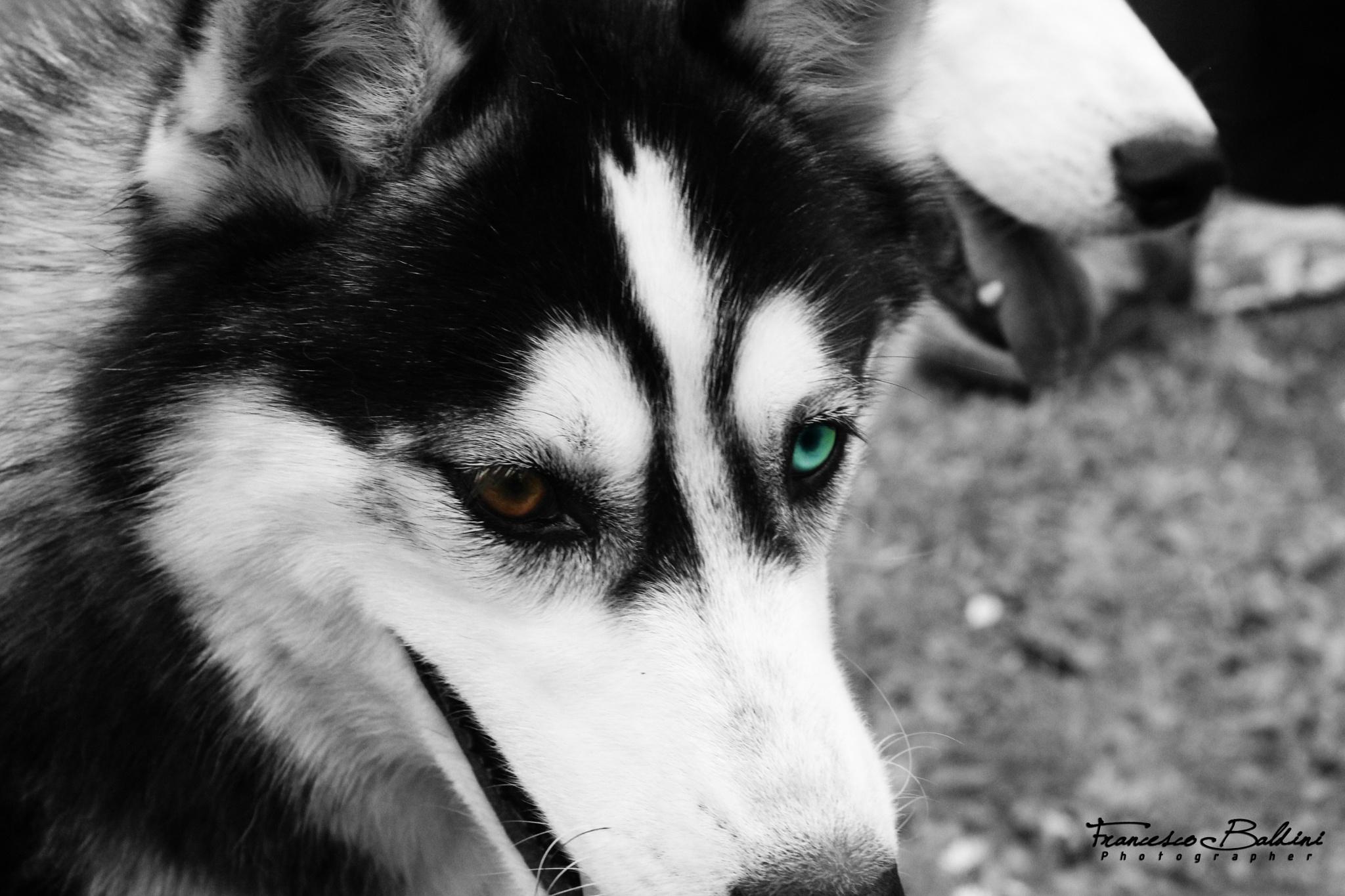 Husky's eyes by Francesco Baldini