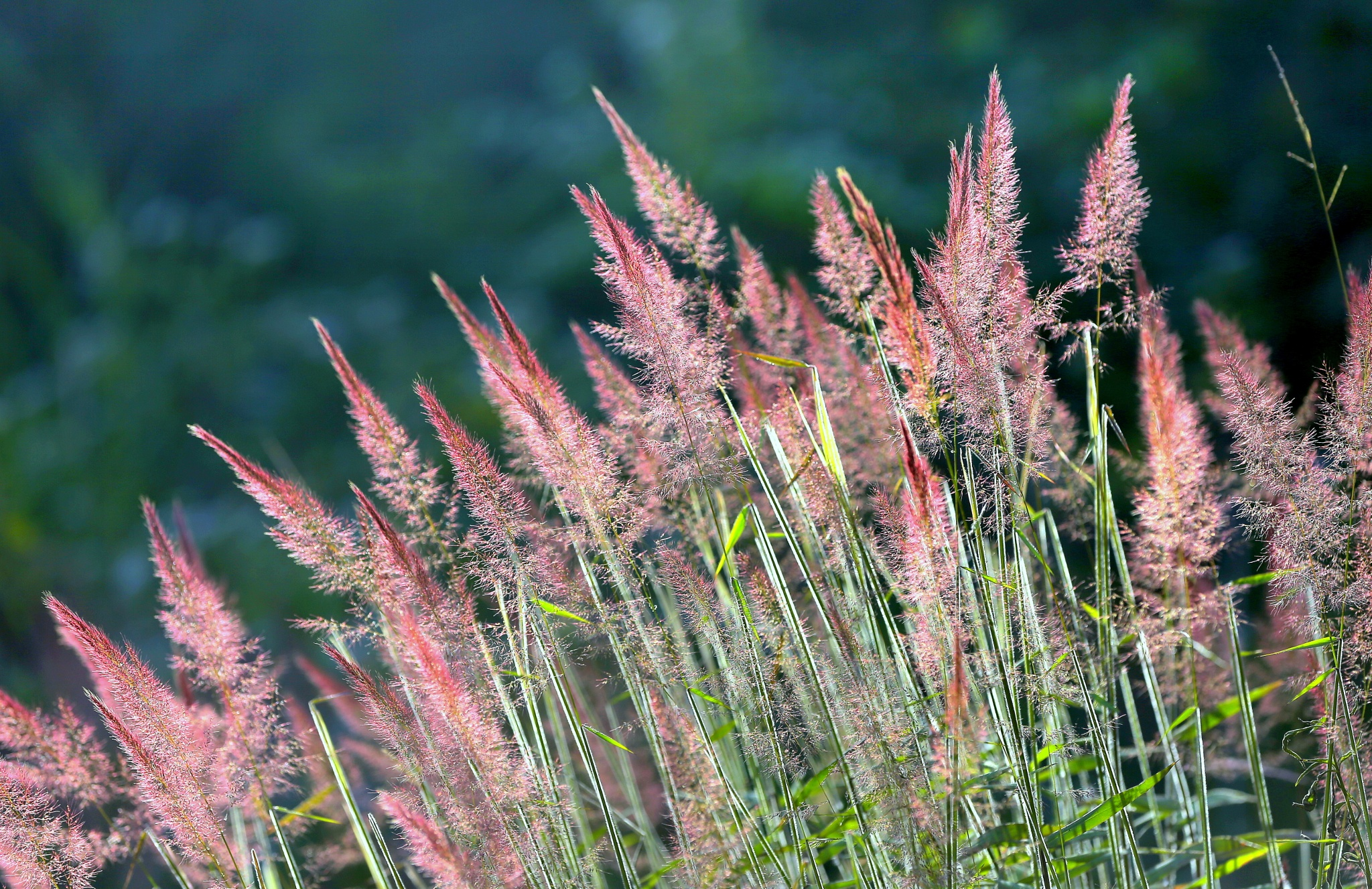 pink grass by luonghai9