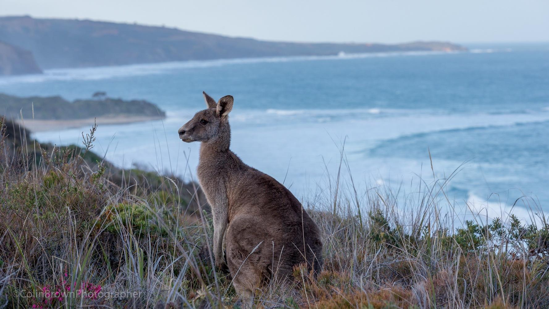 Kangaroo by ColinBrownPhotographer