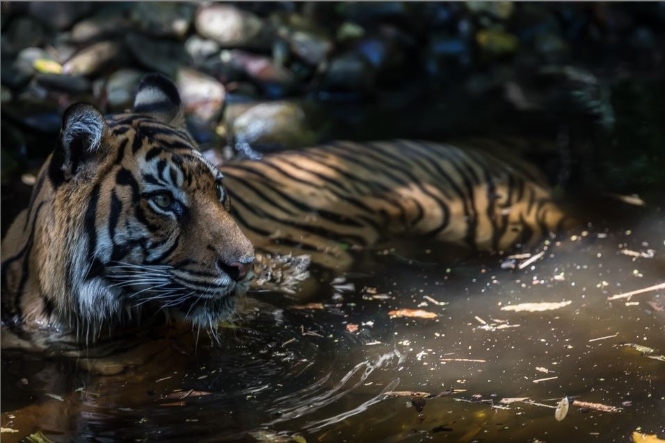 Tiger by D/R