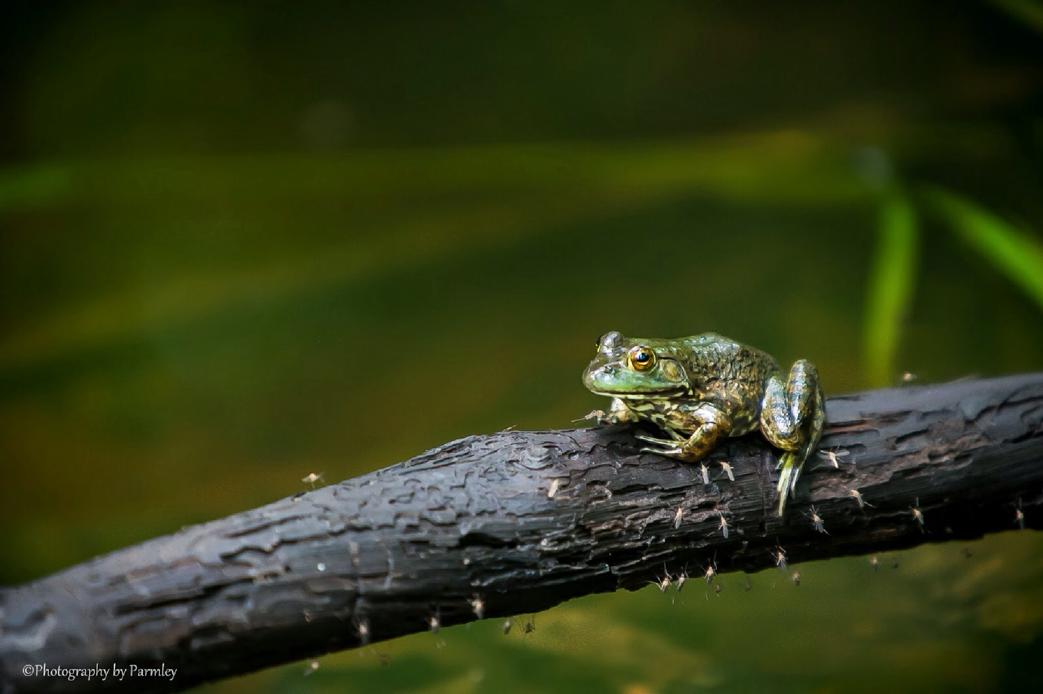 The Frog by JP Parmley