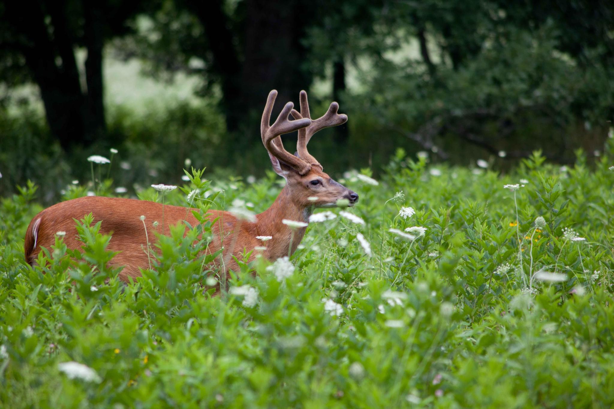 Deer in Field by JP Parmley