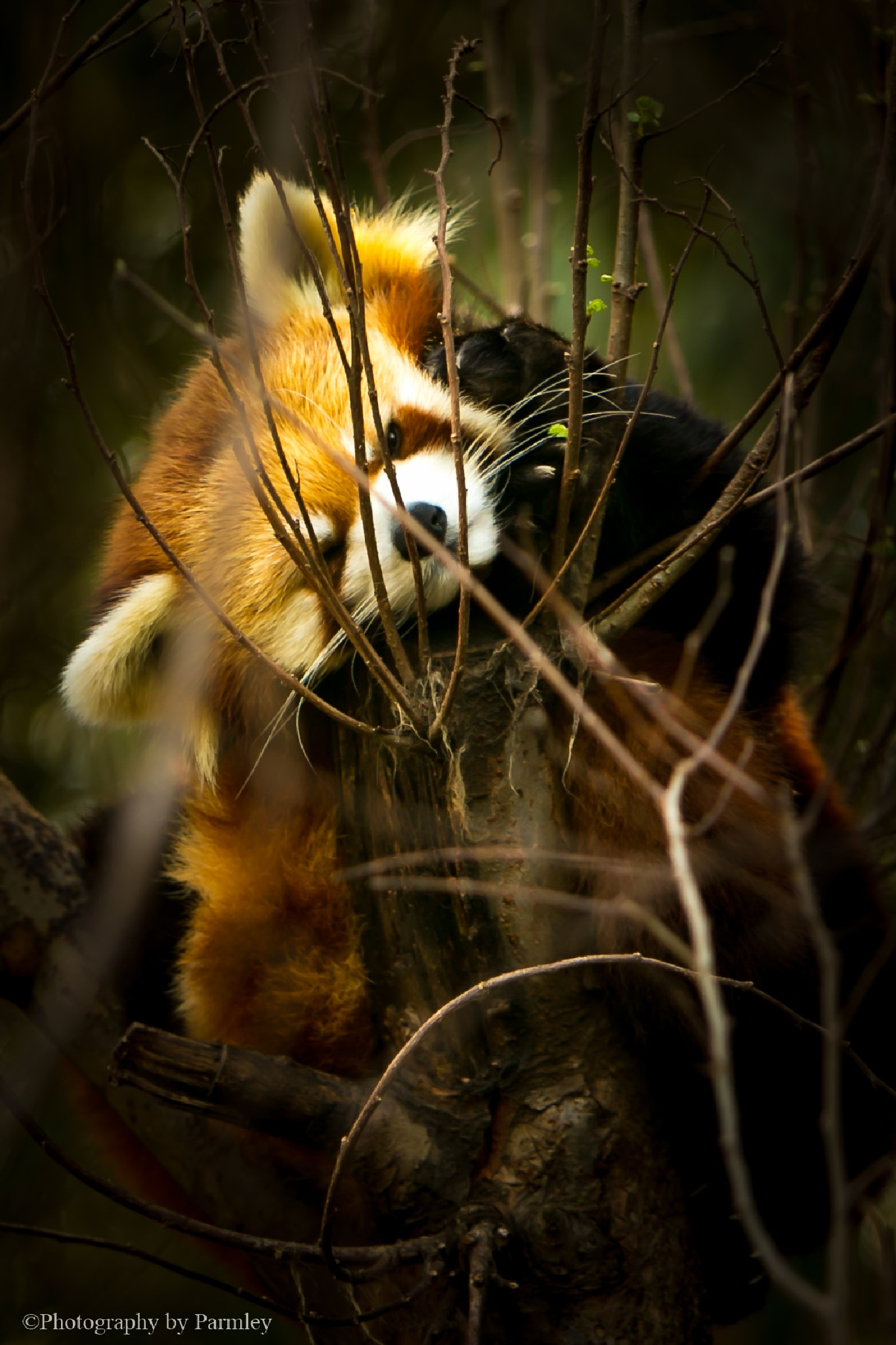 Red Panda by JP Parmley