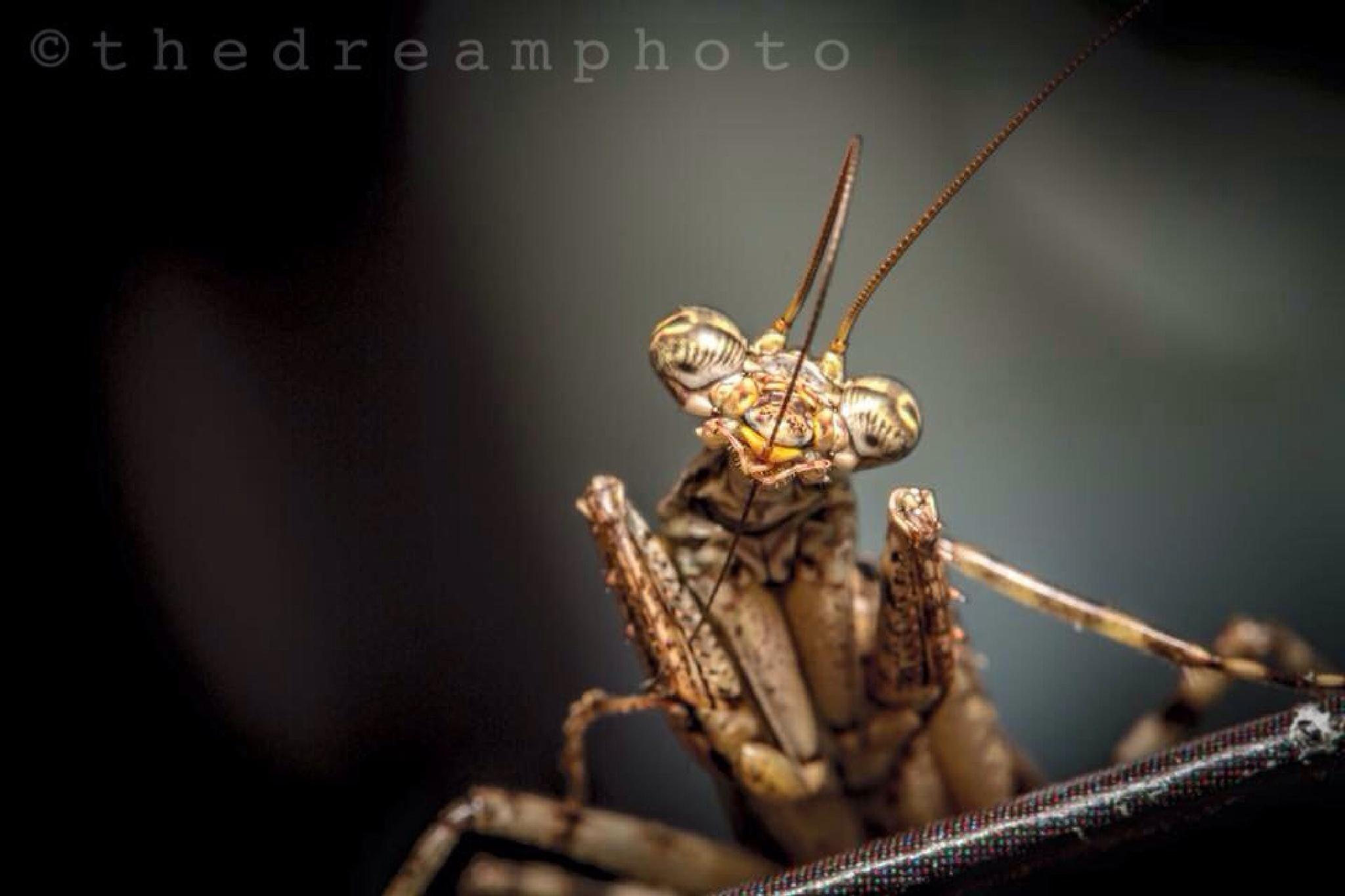 Praying Mantis  by Sushil Dhanawde