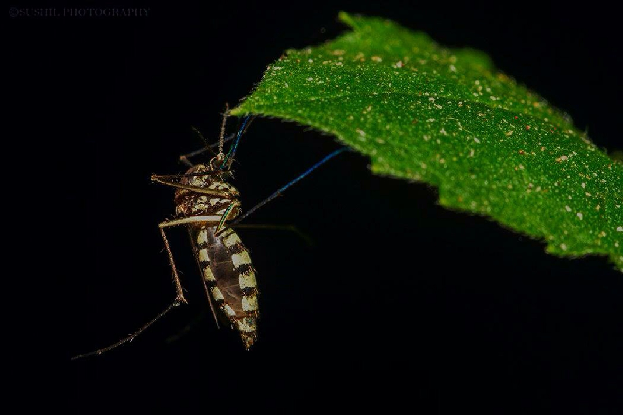 Mosquito by Sushil Dhanawde