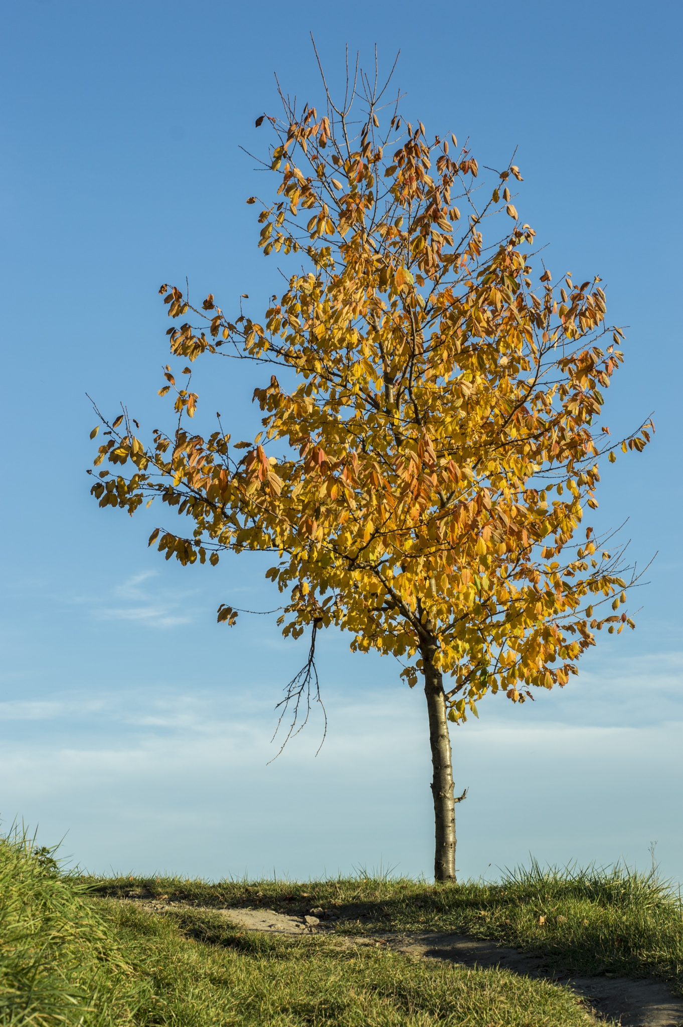 Autumn tree  by anzesusel