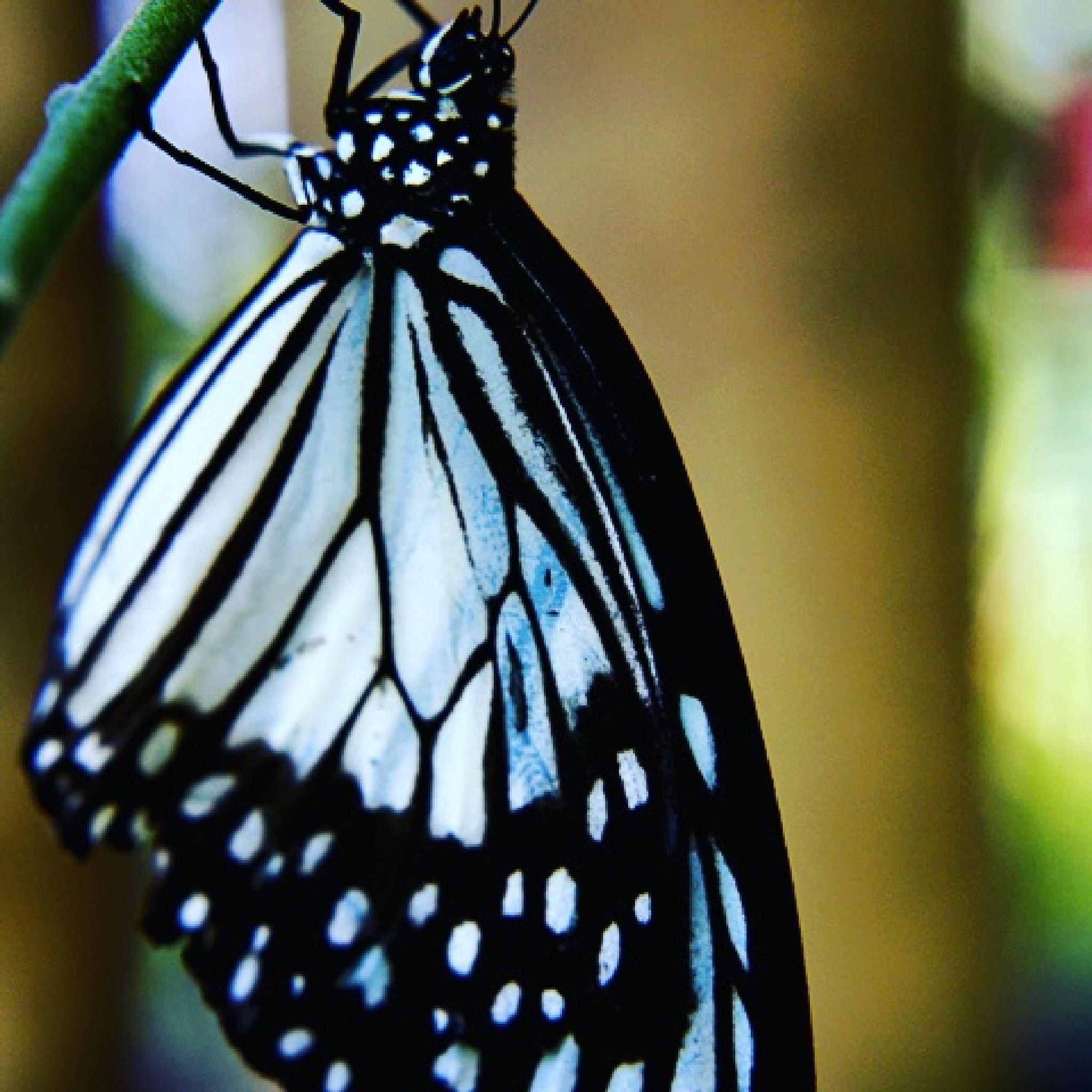 butterfly  by dwiartayasa