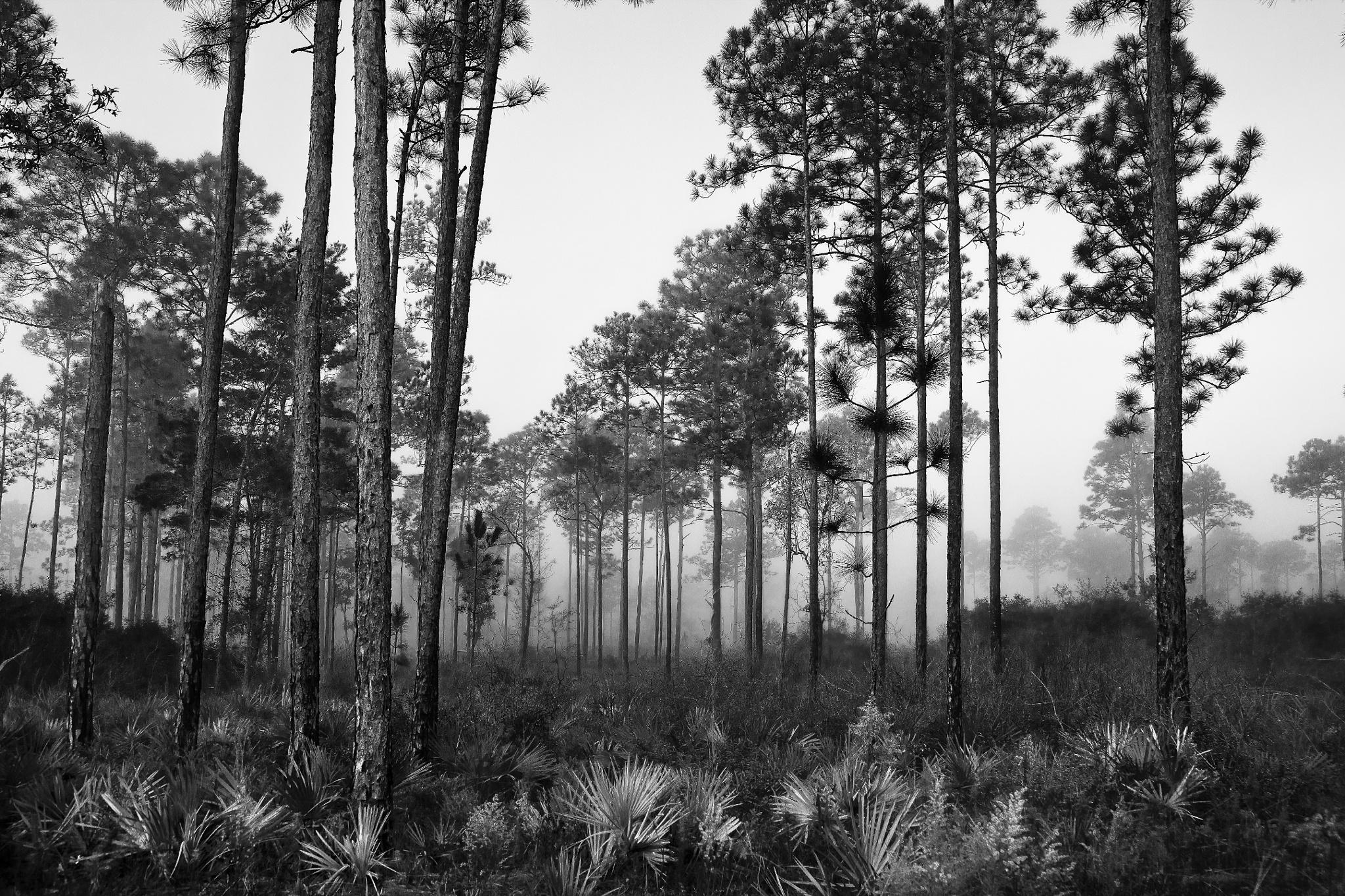 Tall pines by BillyWebb