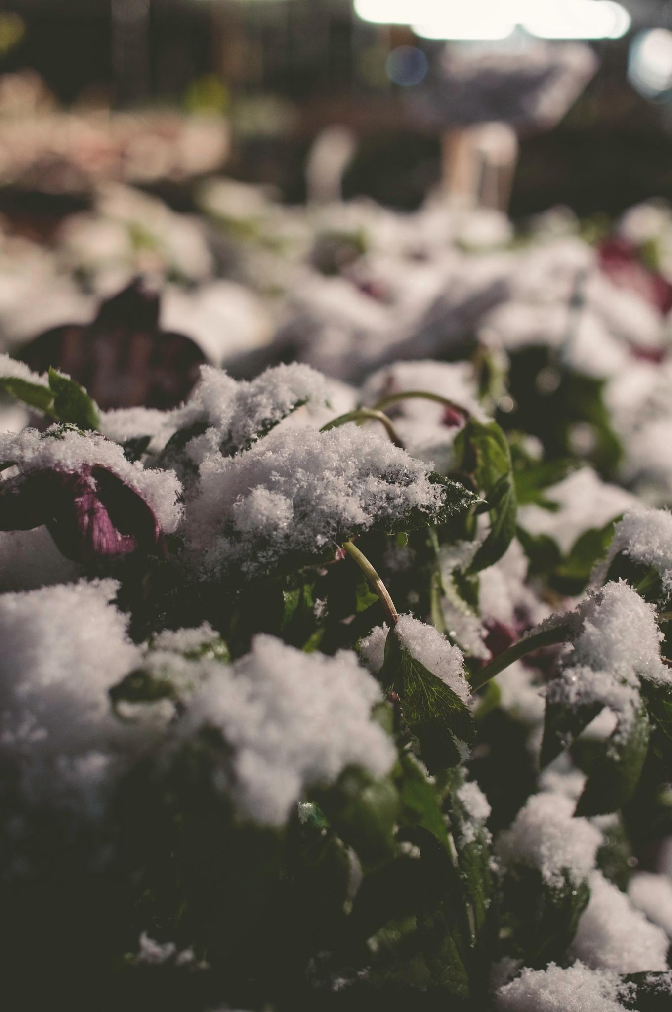 """Snow & Flowers"" - Winter is here  by Goran Jorganovich"