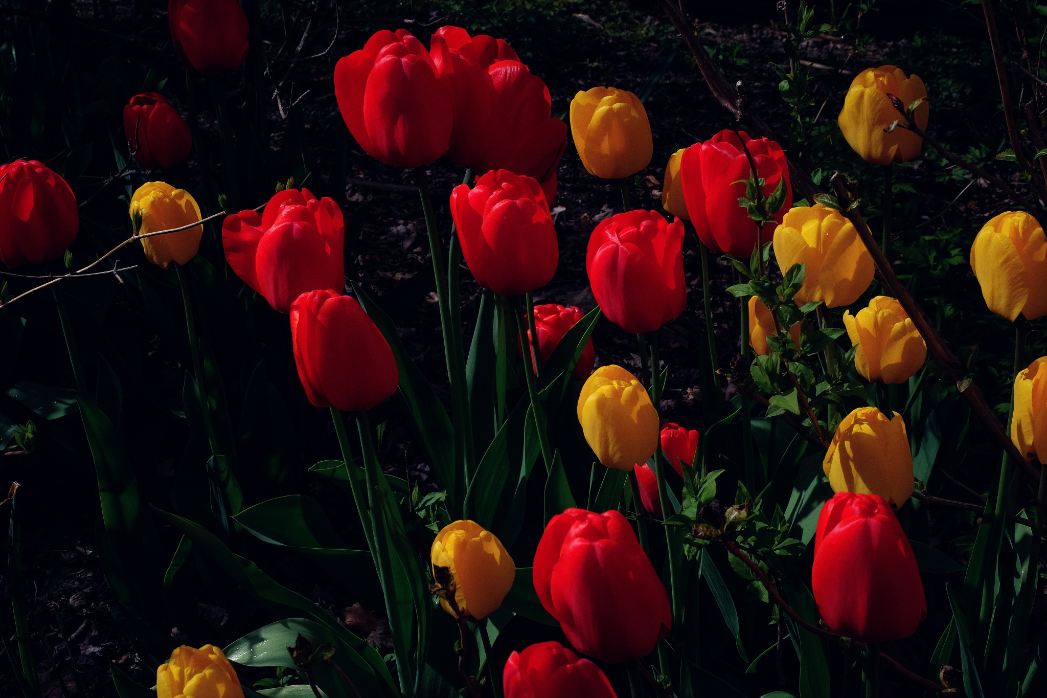 TULIPS ARE BACK TO NORWAY by Goran Jorganovich