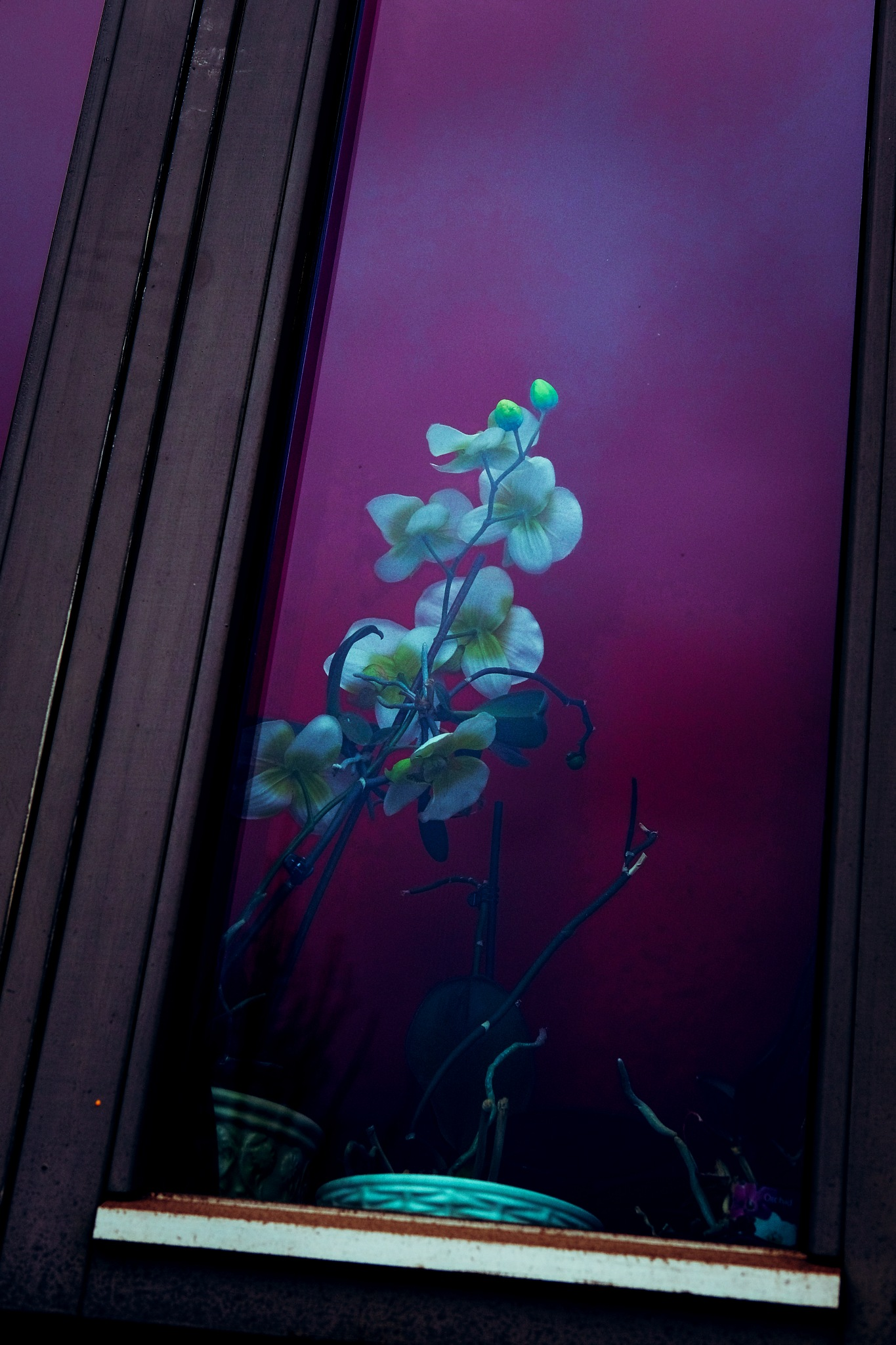 Shy Orchids  in The Window by Goran Jorganovich