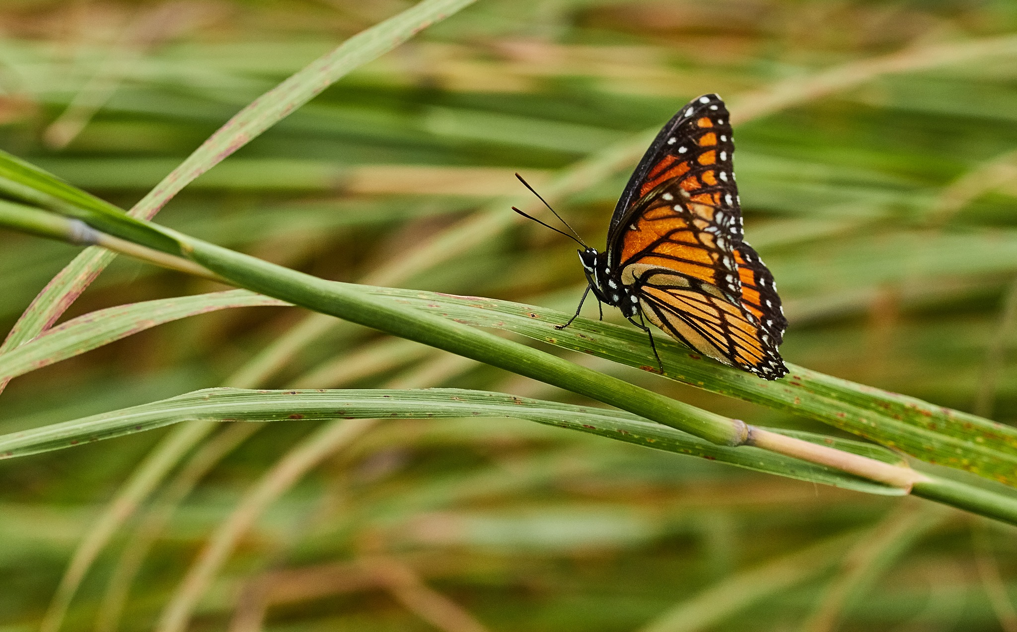 Monarch by Holly Jennings