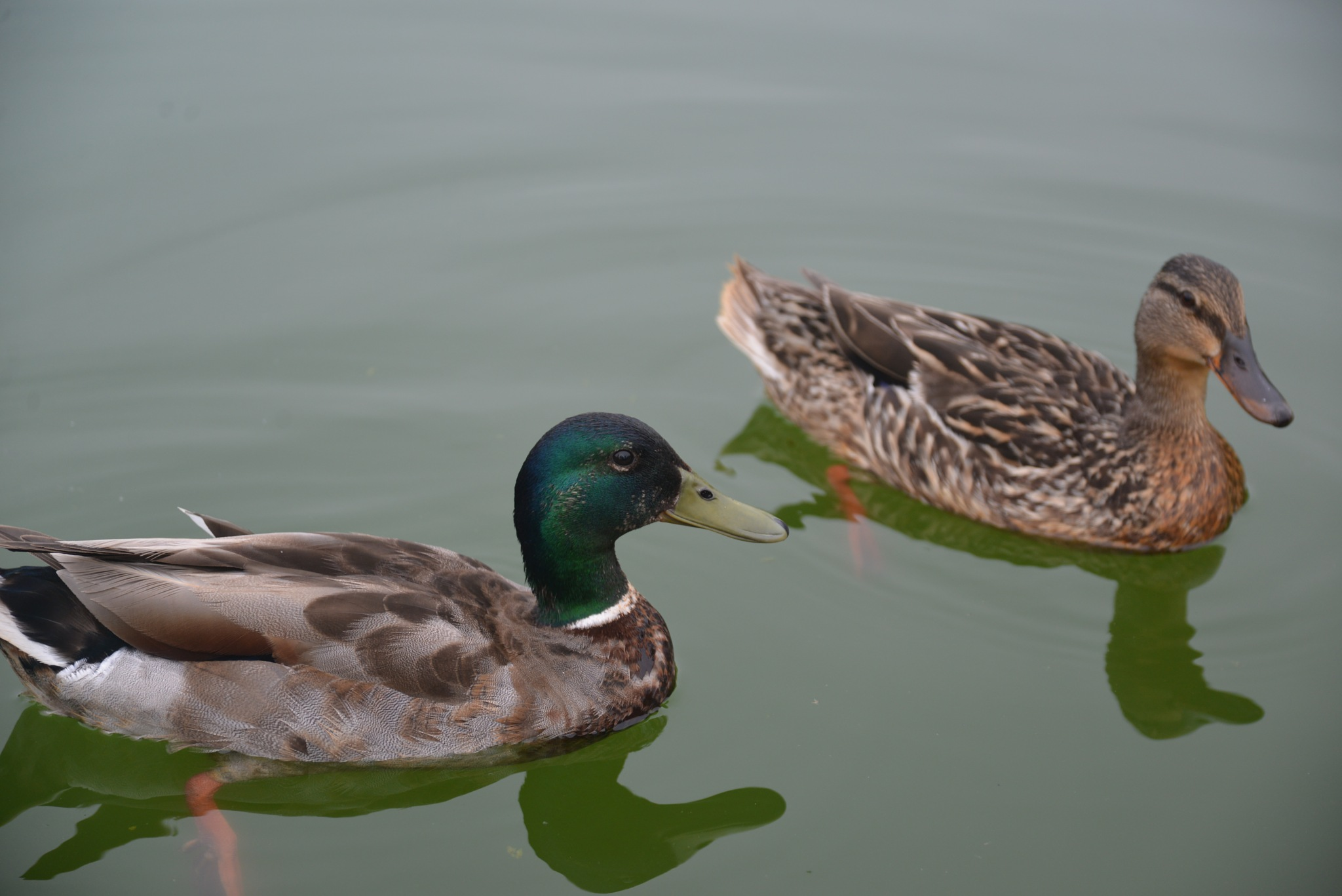 Ducks by Nicholas C.