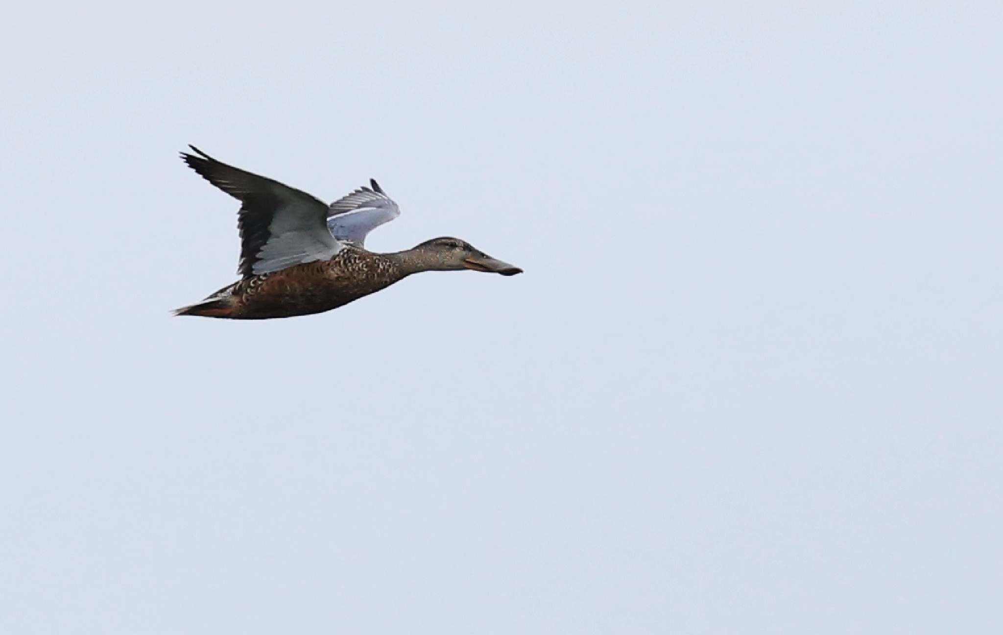 The flying duck. It comes from a few thousand kilometers, from Siberia to Hong Kong. by samip75