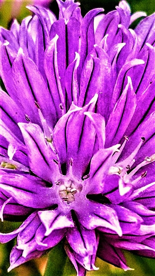 Red Clover Flower by RichardJTreitner