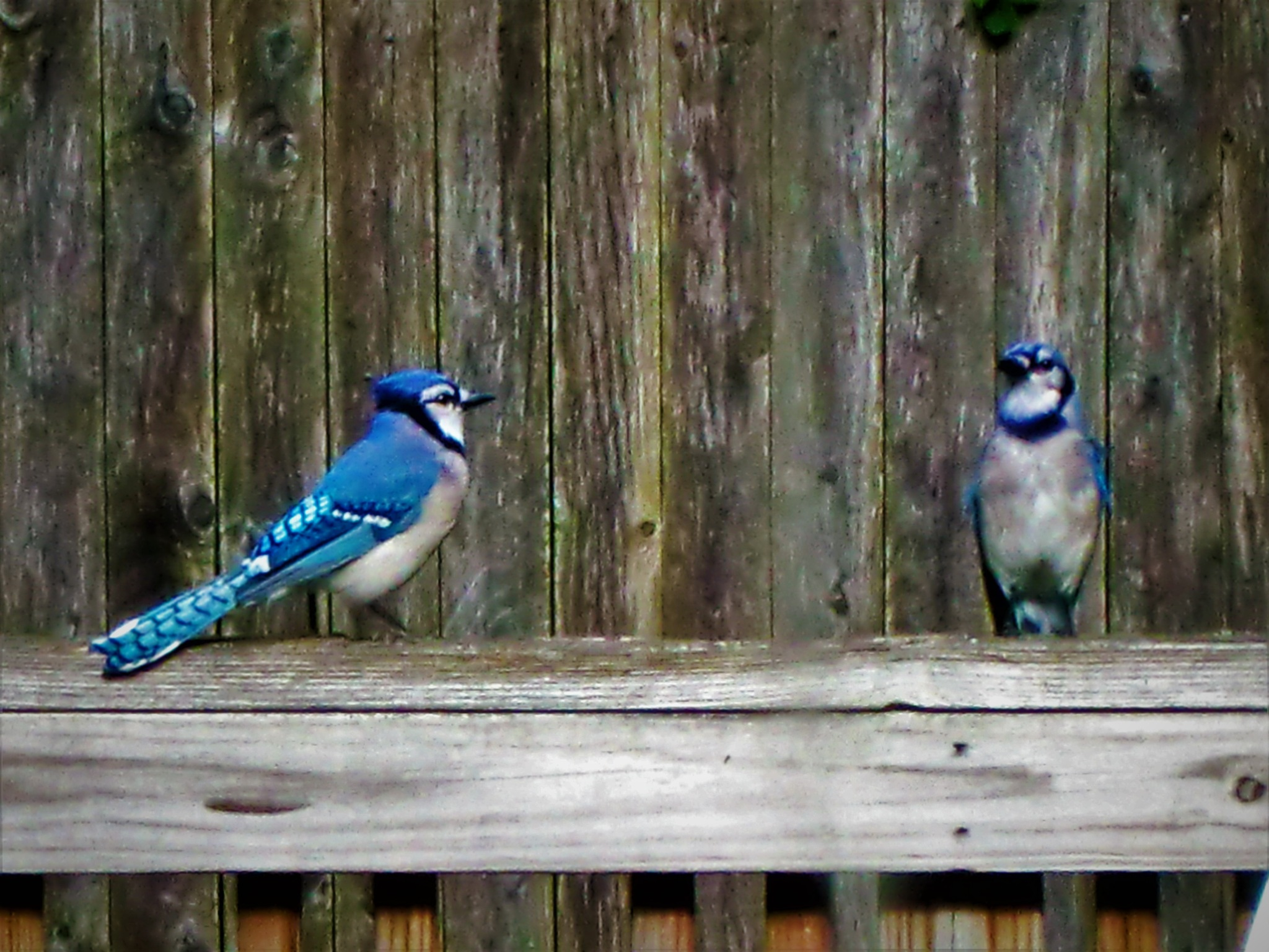 The Dynamic Body Language of a Bluejay Couple by RichardJTreitner