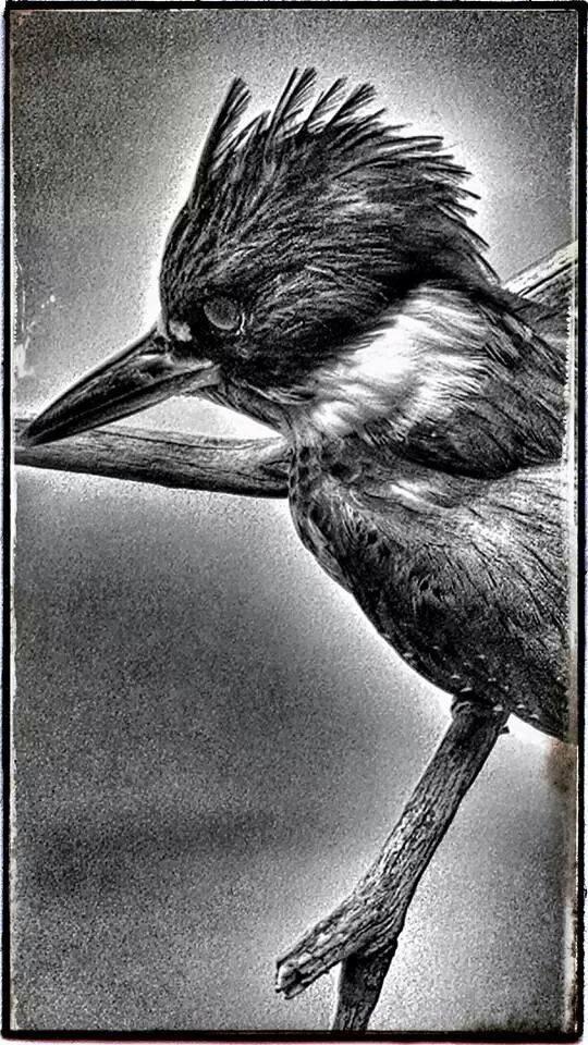 Kingfisher on Display by RichardJTreitner