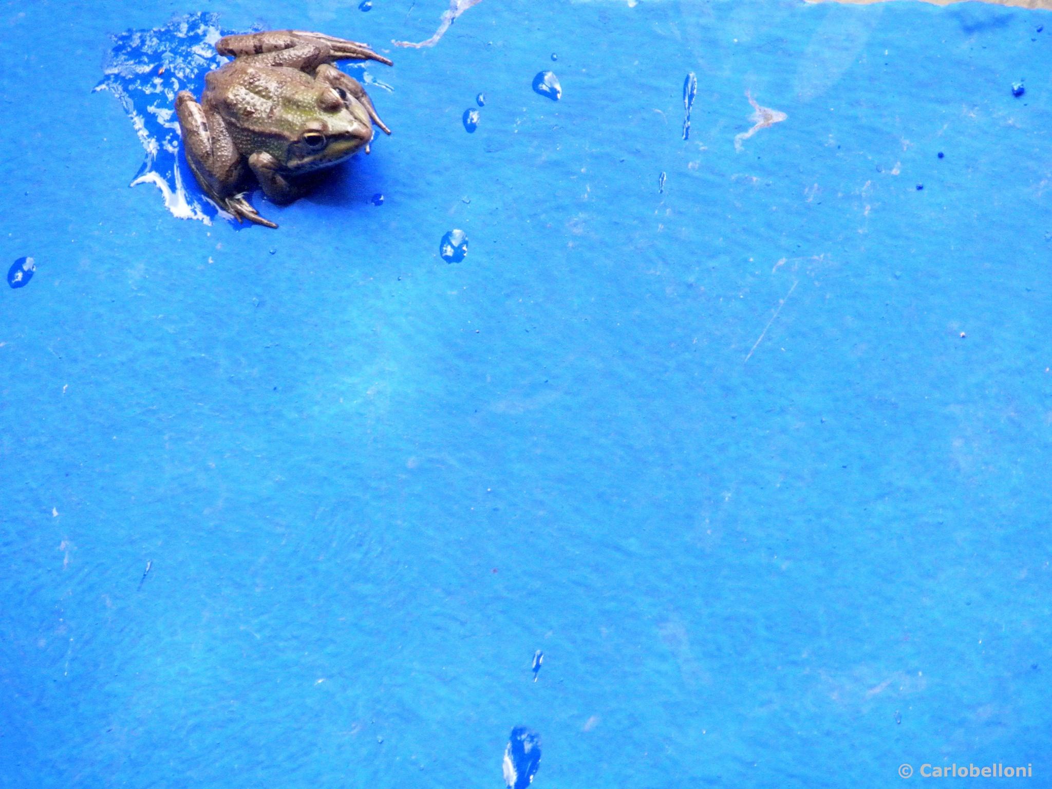 .. rana nel blù ... frog into the blue by carlob52
