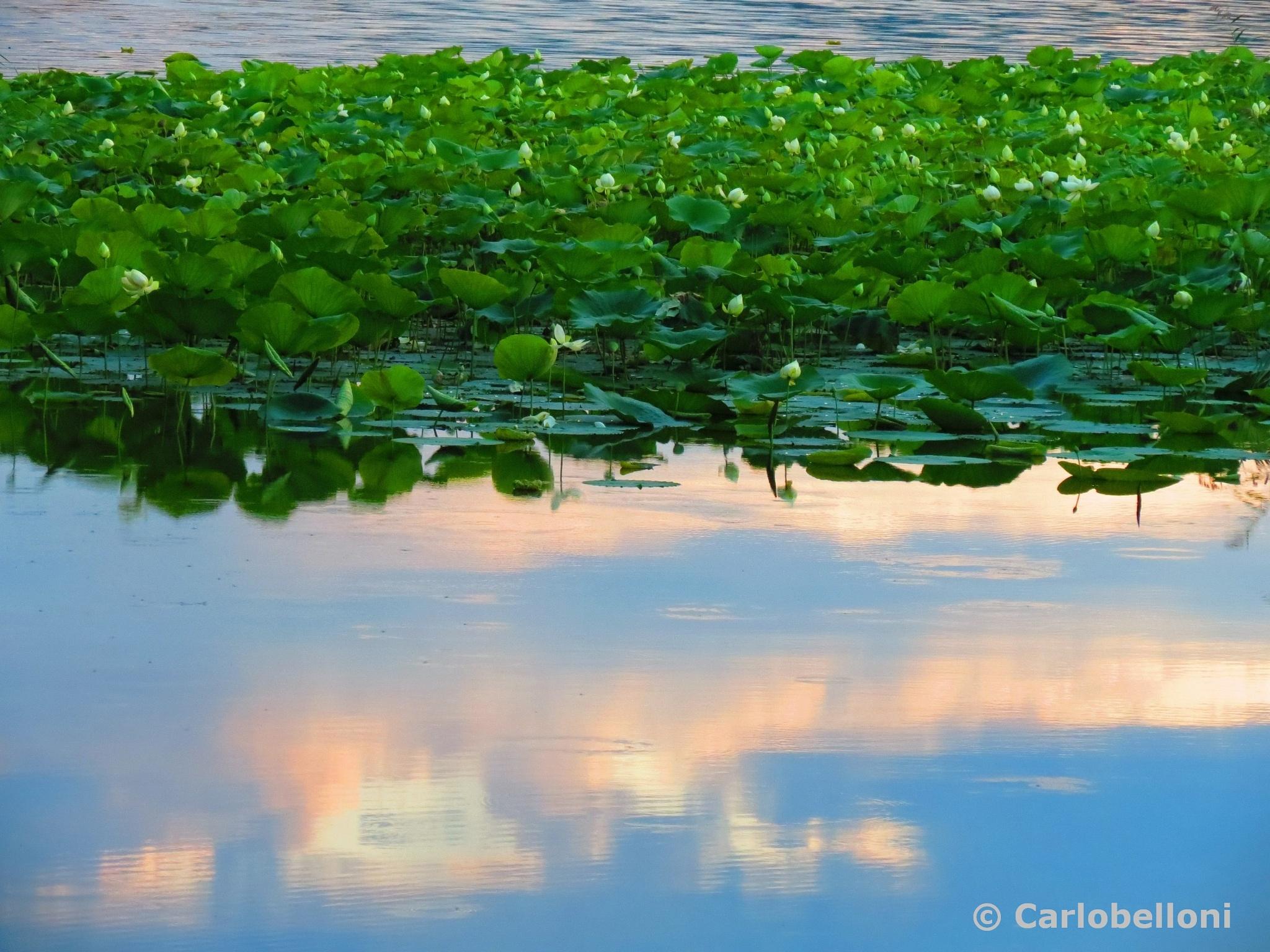 ninfee   - waterlilies  - by carlob52