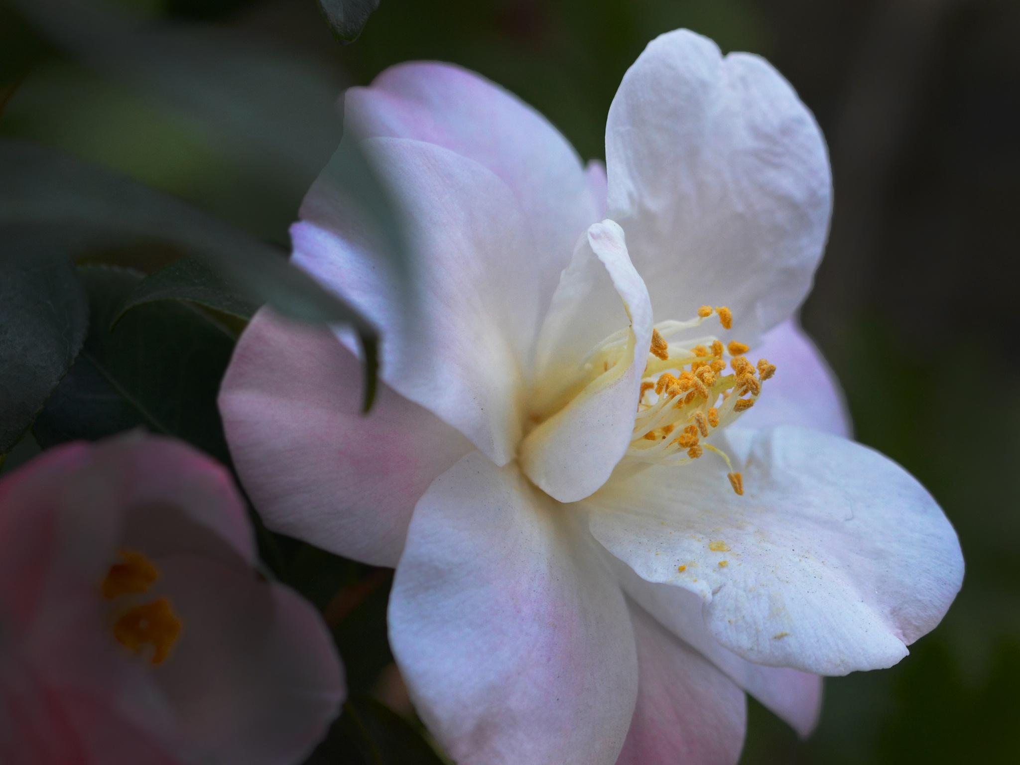 Camellia light pink by OSAMU HIROKAWA